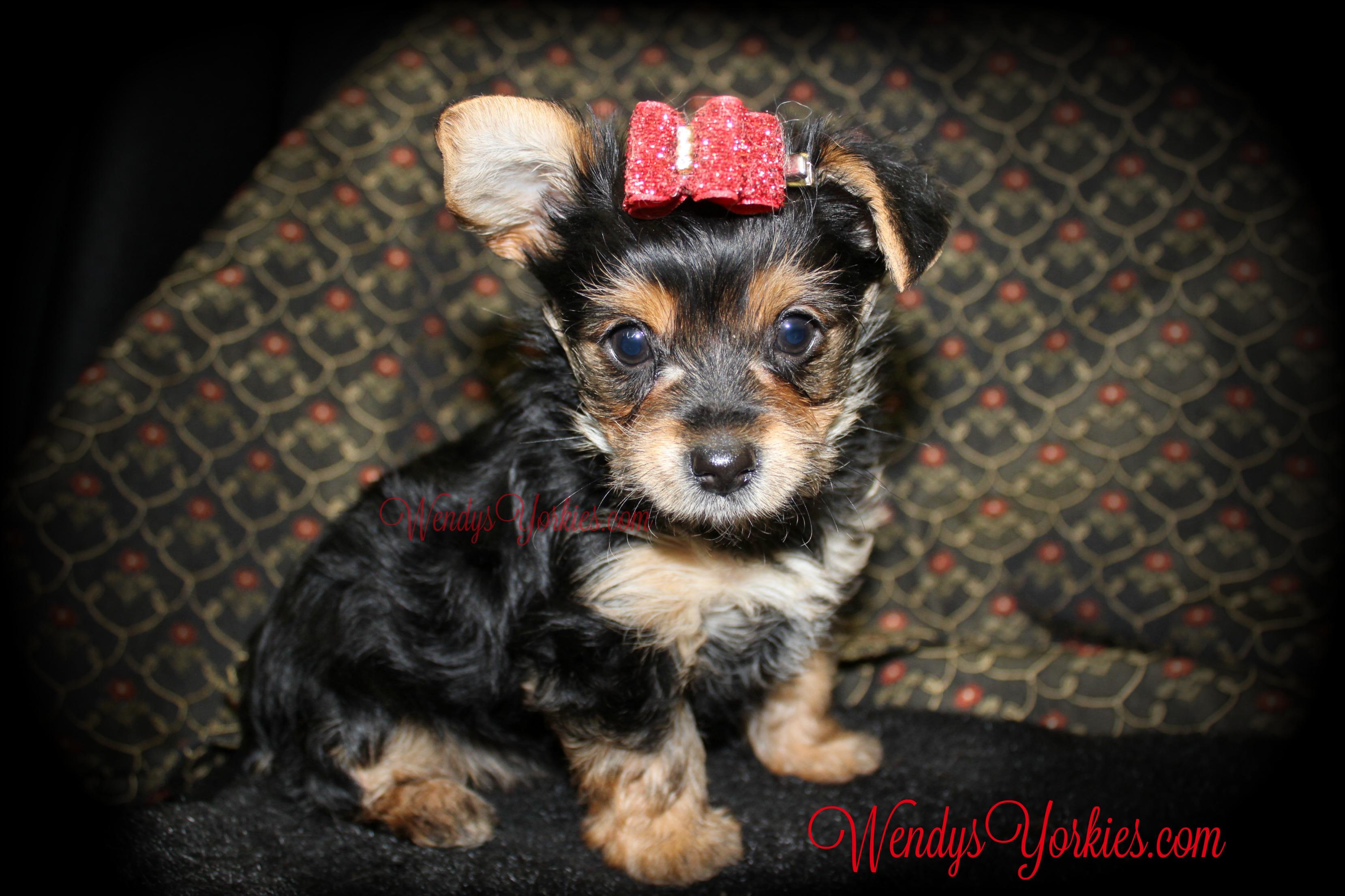 Cute Female YOrkie puppy for slae, WendysYorkies.com, TH f1