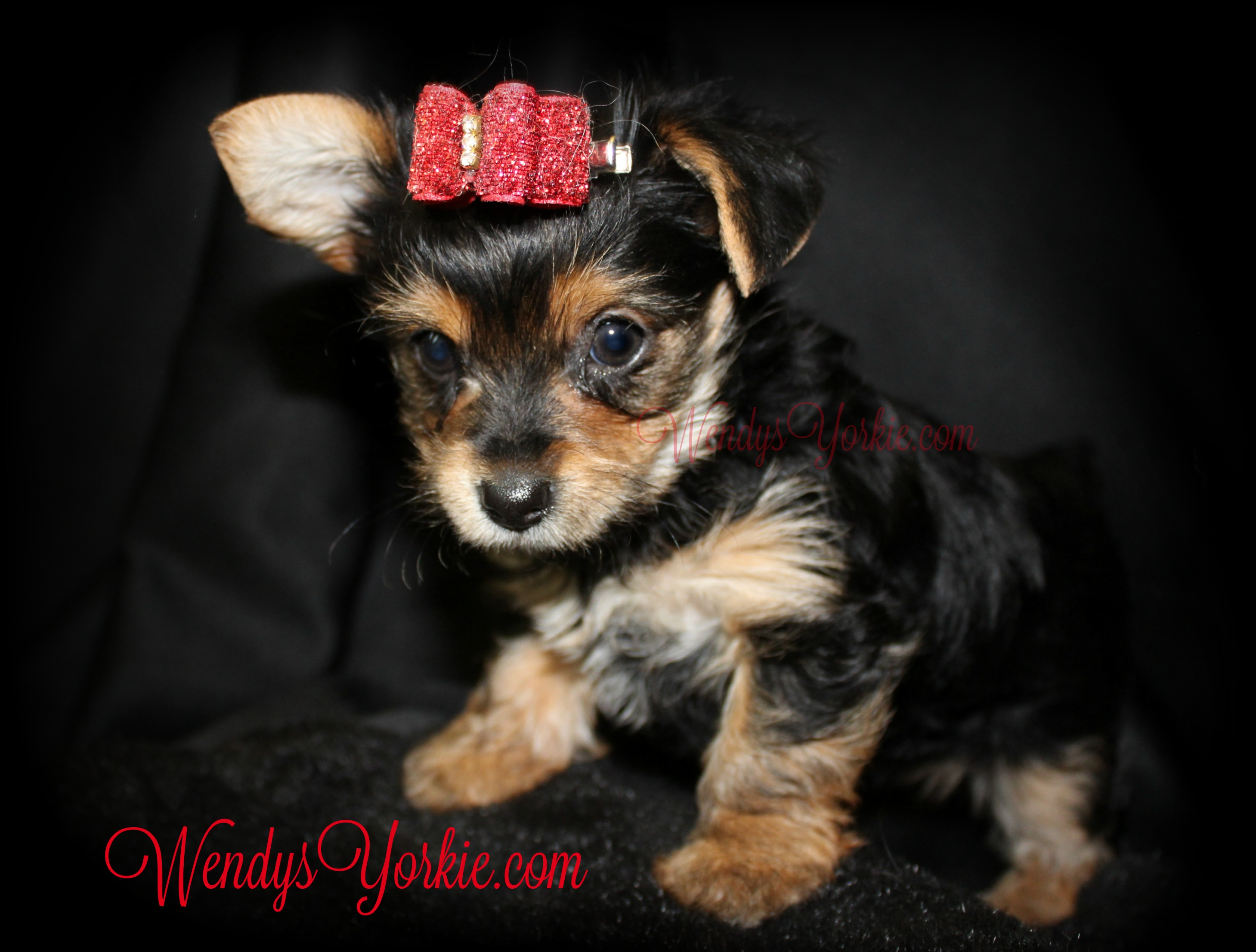 Cute YOrkie puppy for sale, TH f1