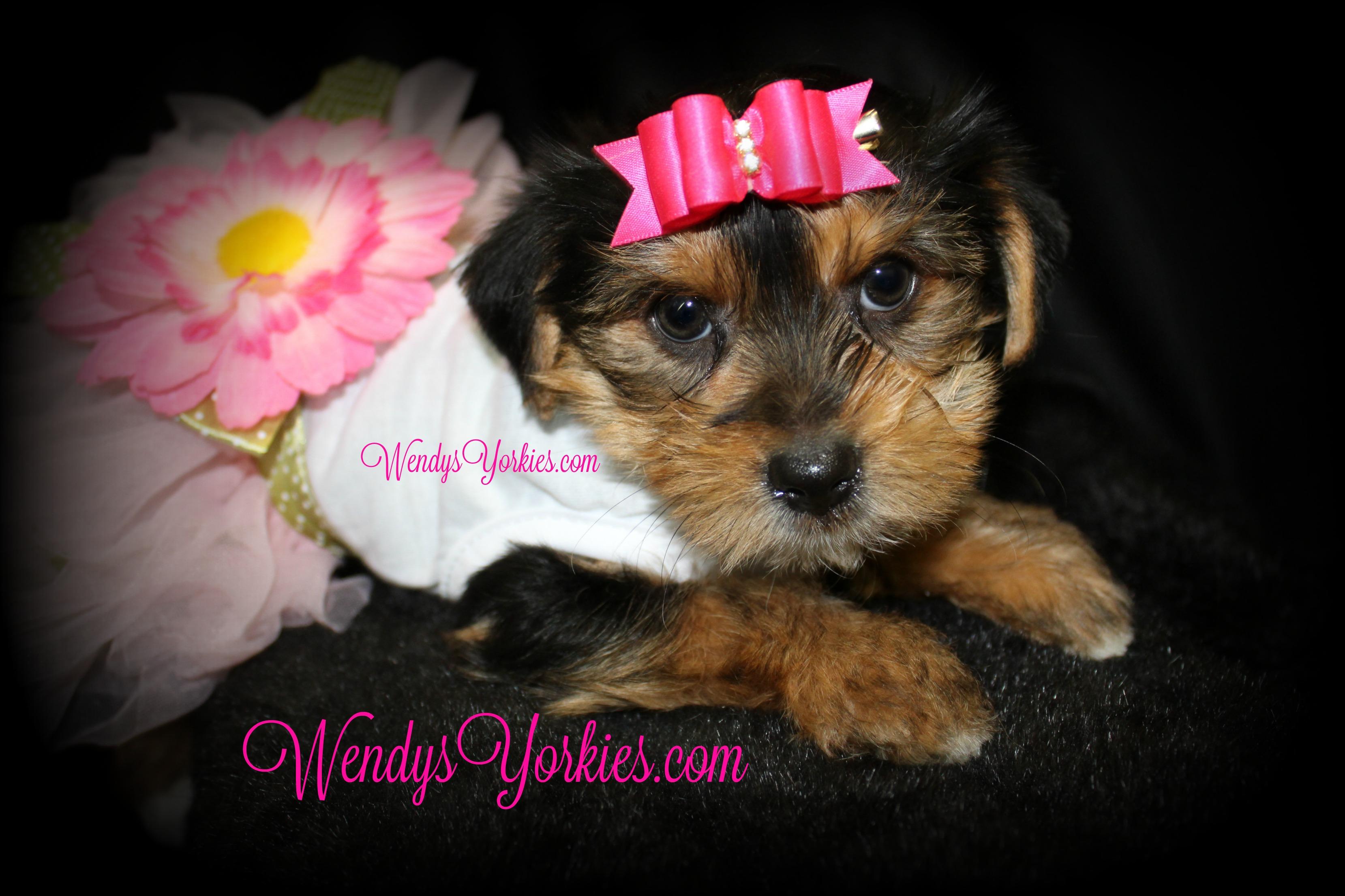Cute Yorkie puppies for sale, WendysYorkies.com, Penny