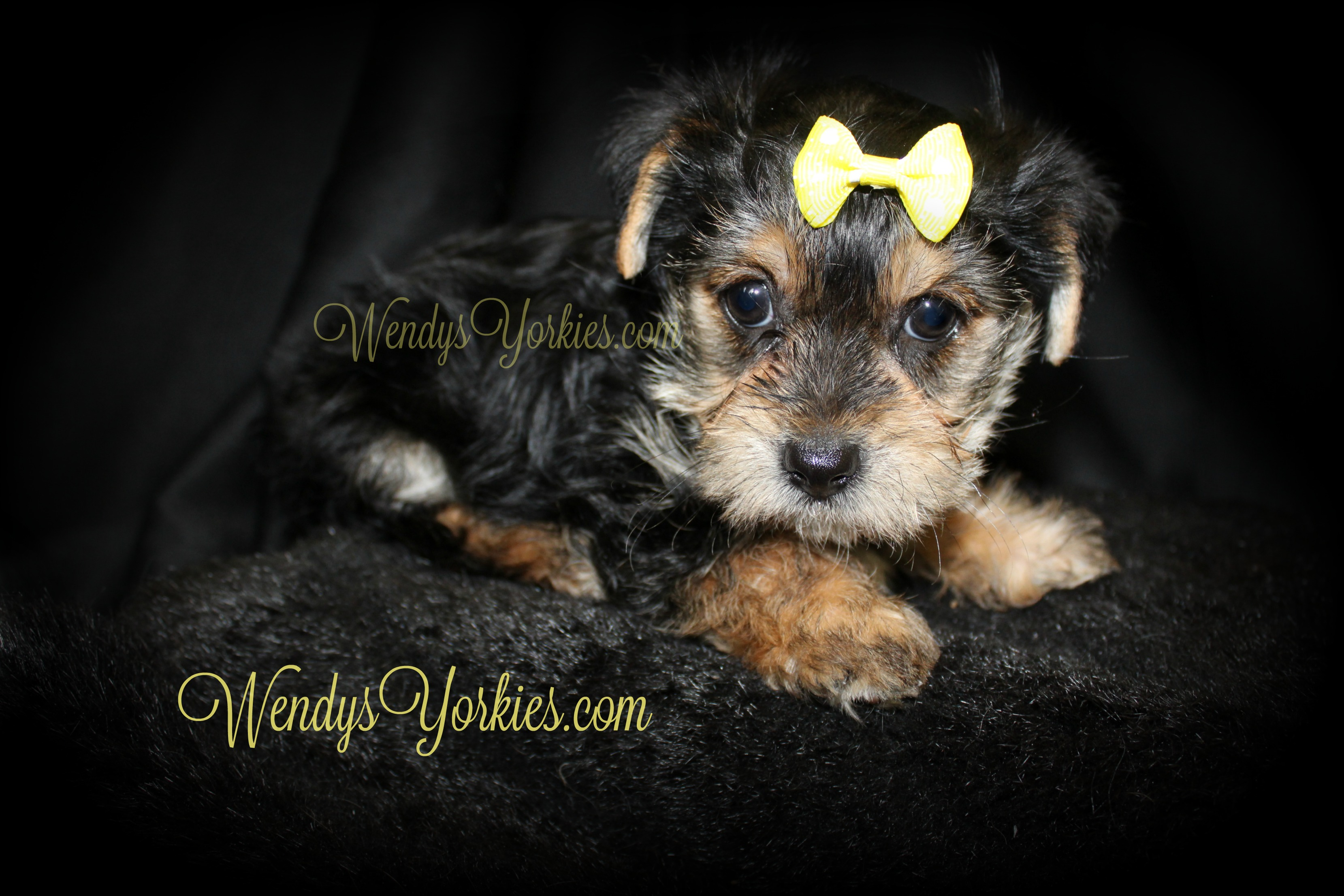 Female Yorkie puppy for sale, WendysYorkies, Pipper