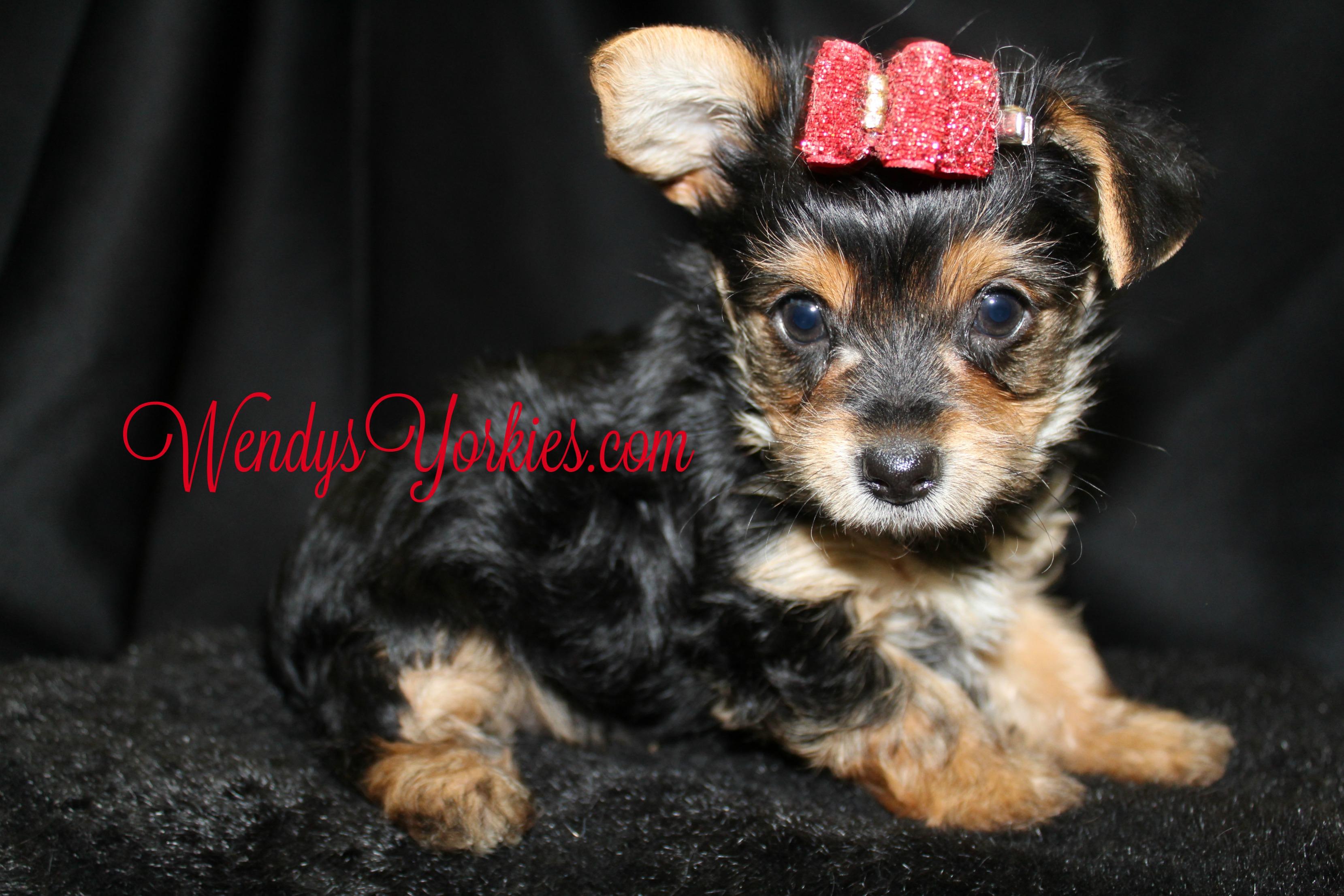 Female Yorkie puppy for sale, WendysYorkies.com, TH f1