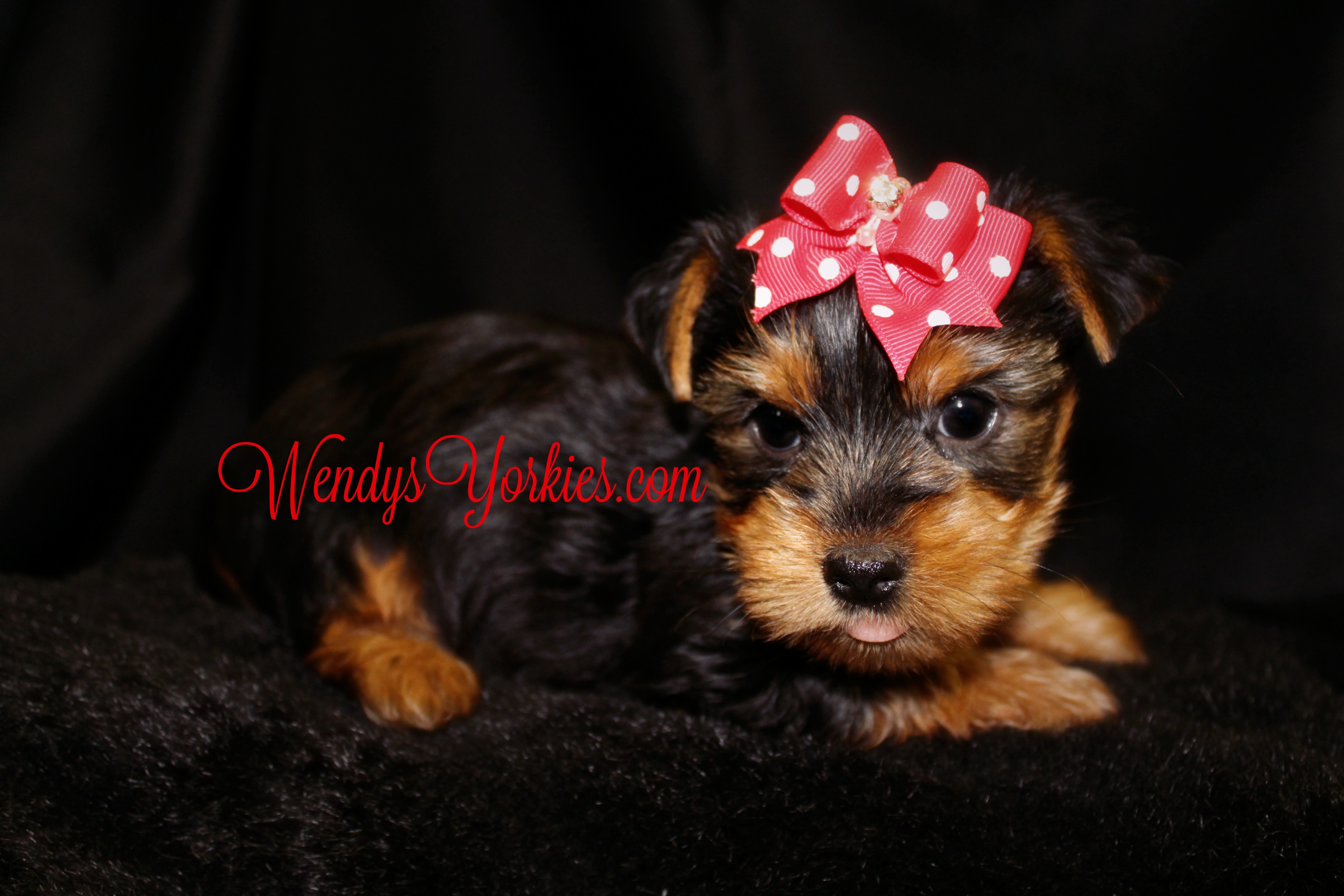 Male Yorkie puppy for sale in Texas, WendysYorkies.com, Brittney m1