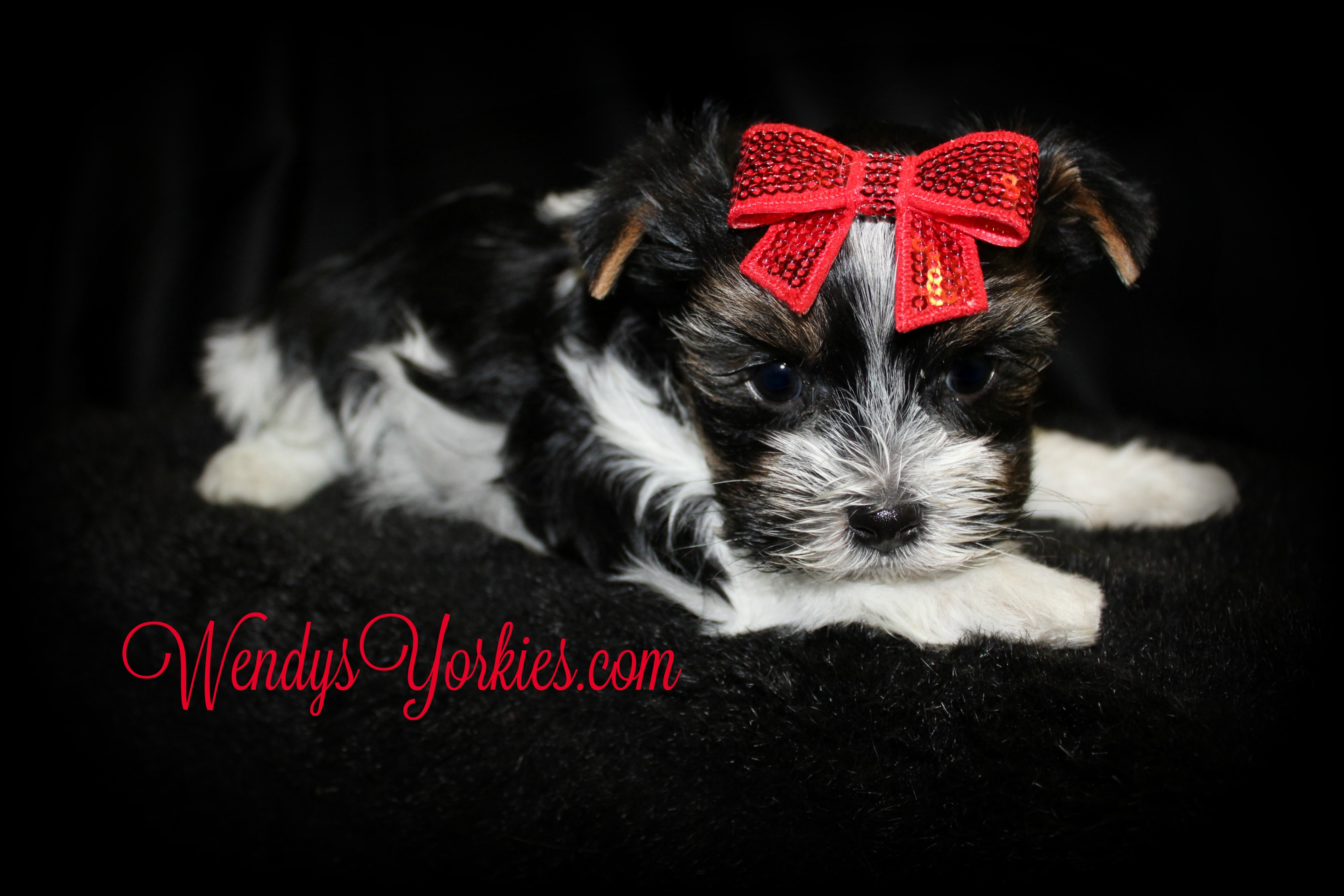Parti Morkie puppy for sale, WendysYorkies.com, Quin m1