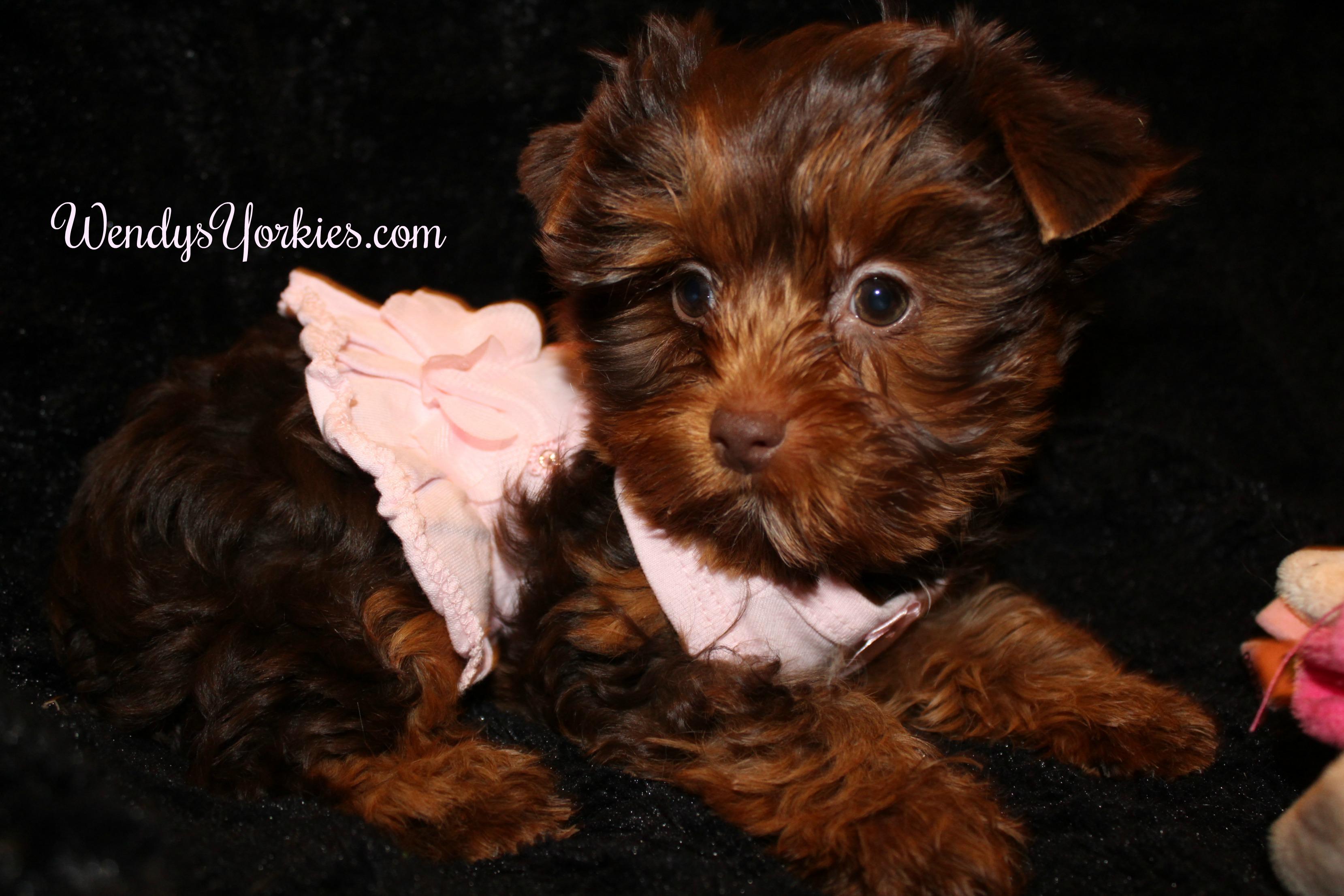 Teacup Chocolate Yorkie puppy for sale, WendysYorkies.com, Lela Cf1