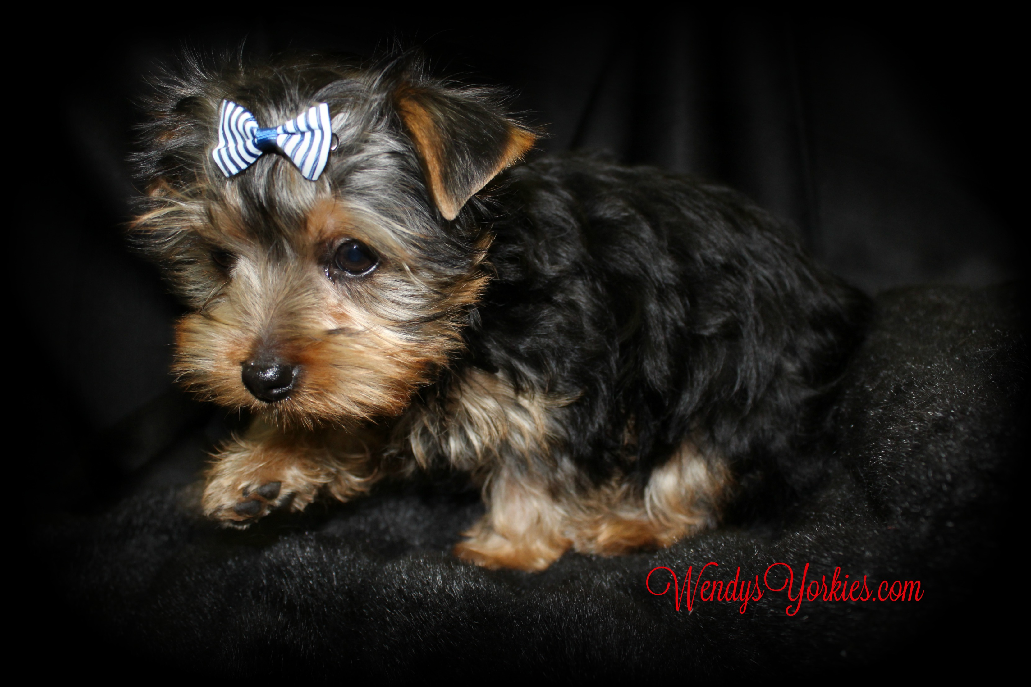 Teacup Yorkie puppy for sale, Jax, WendysYorkies.com