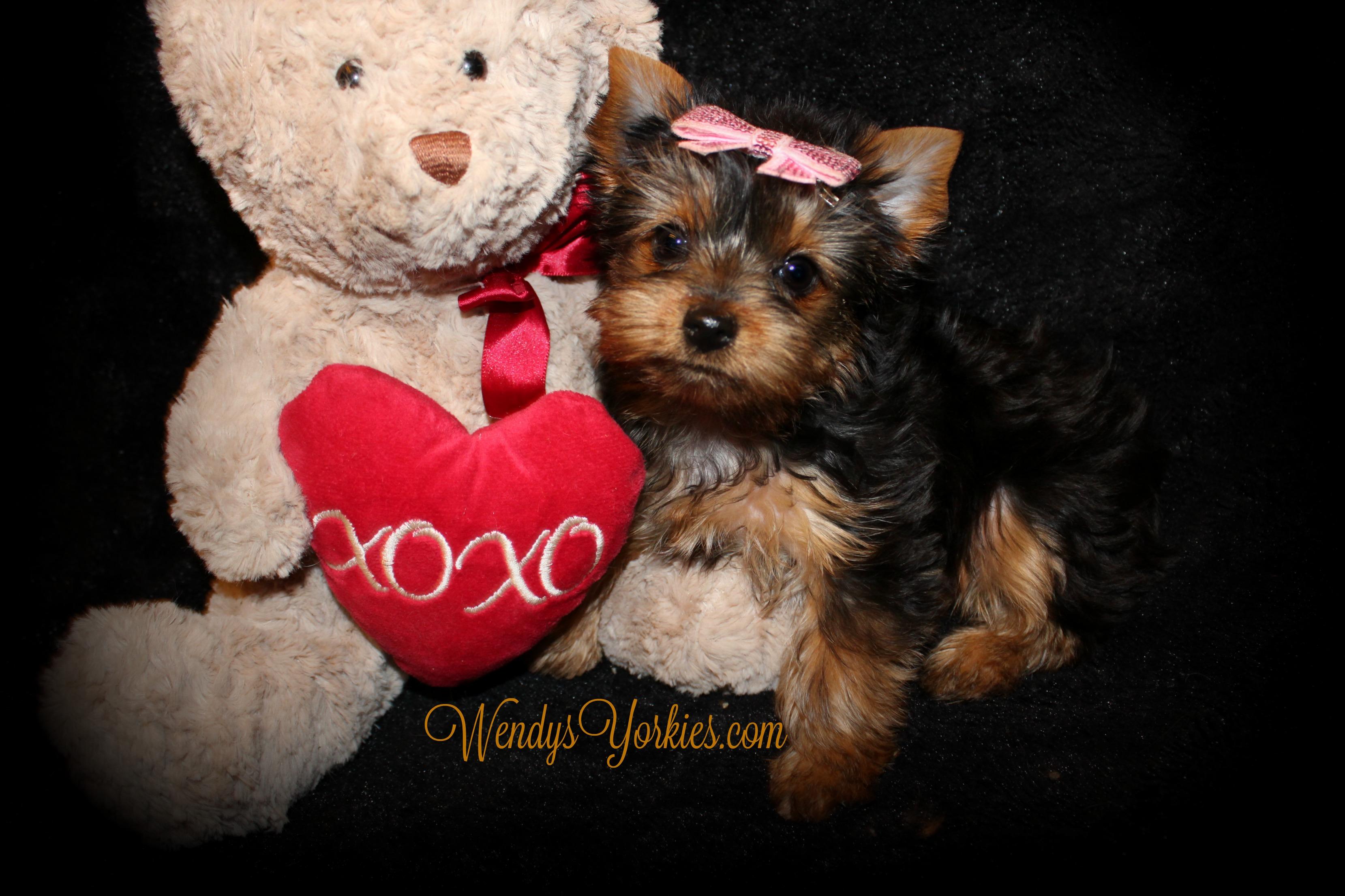 Tiny Teacup Female Yorkie puppy for sale, WendysYorkies.com
