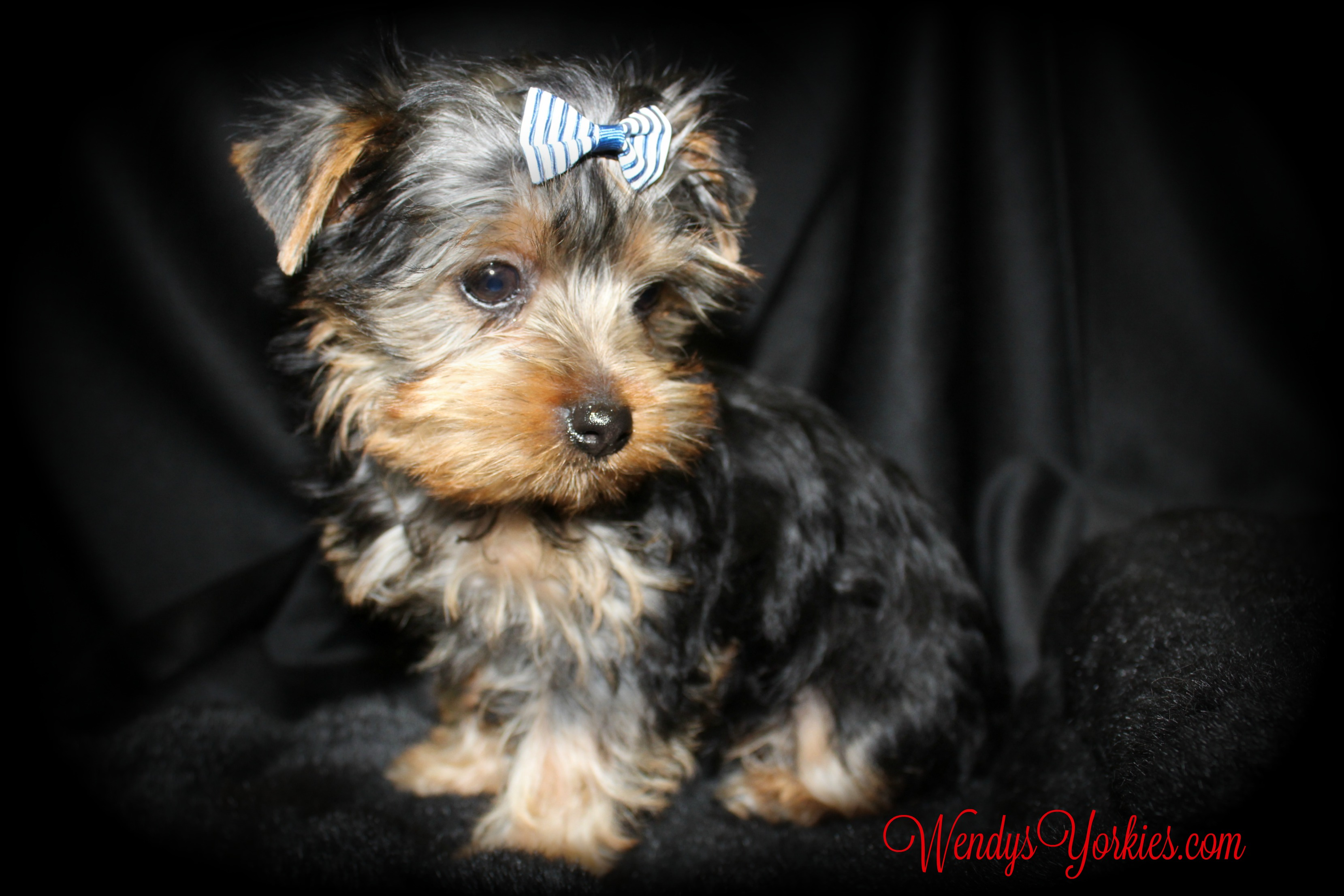 WendysYorkies, Yorkie puppy for sale, Jax