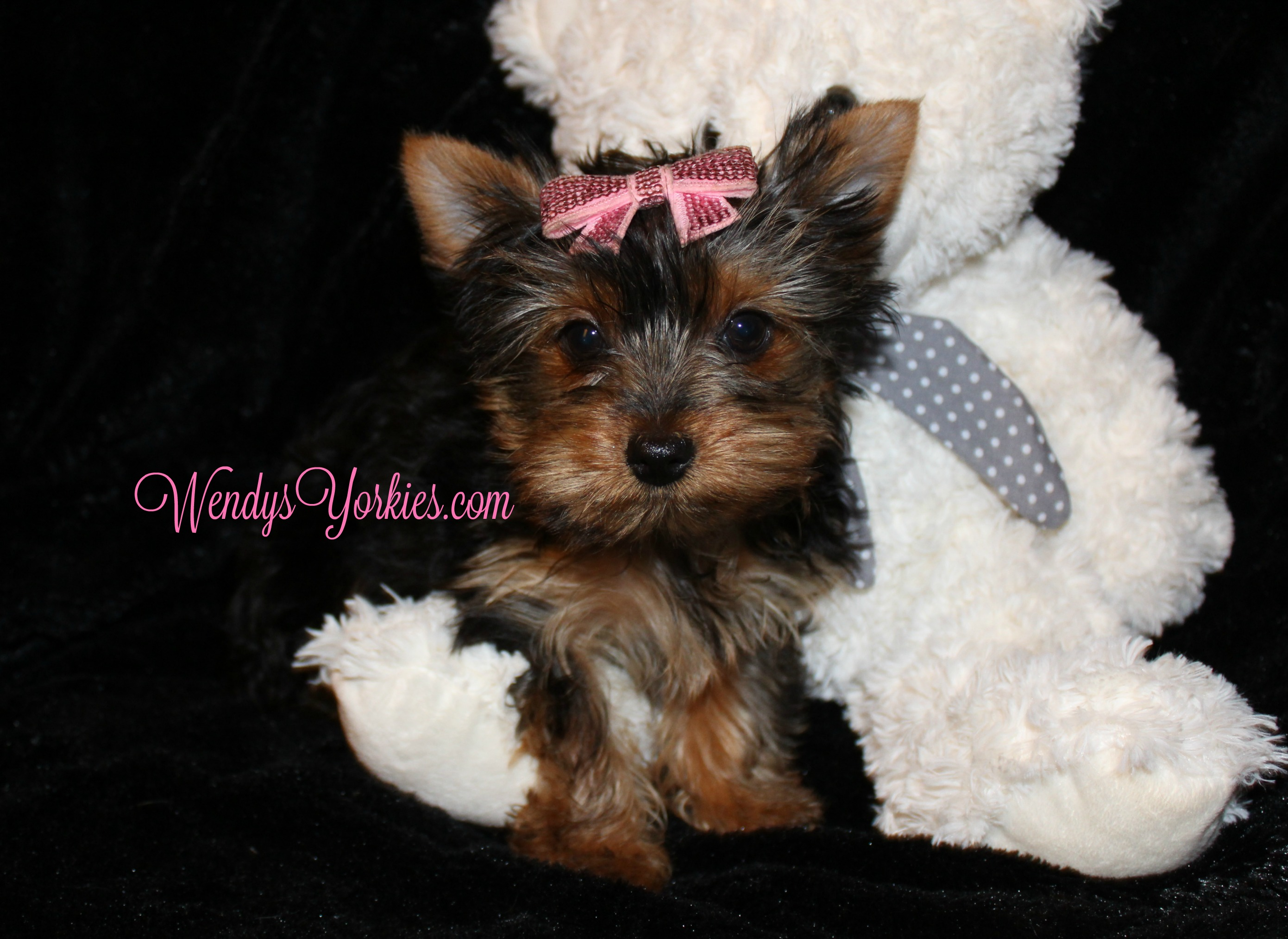 WendysYorkies.com, Teacup YOrkie puppy for sale, Lacy