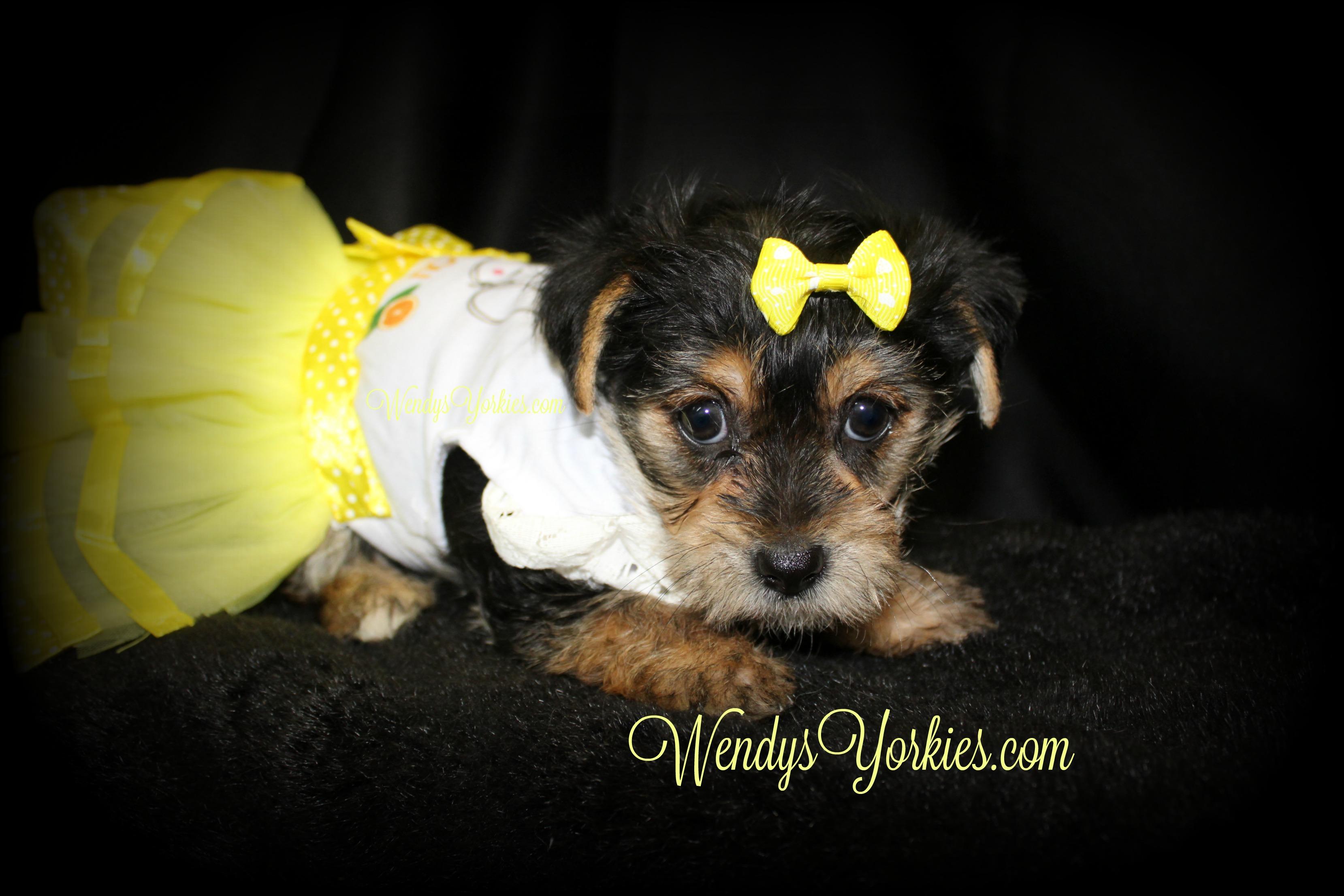 Yorkie puppies for sale, Pipper, wendysYorkies.com