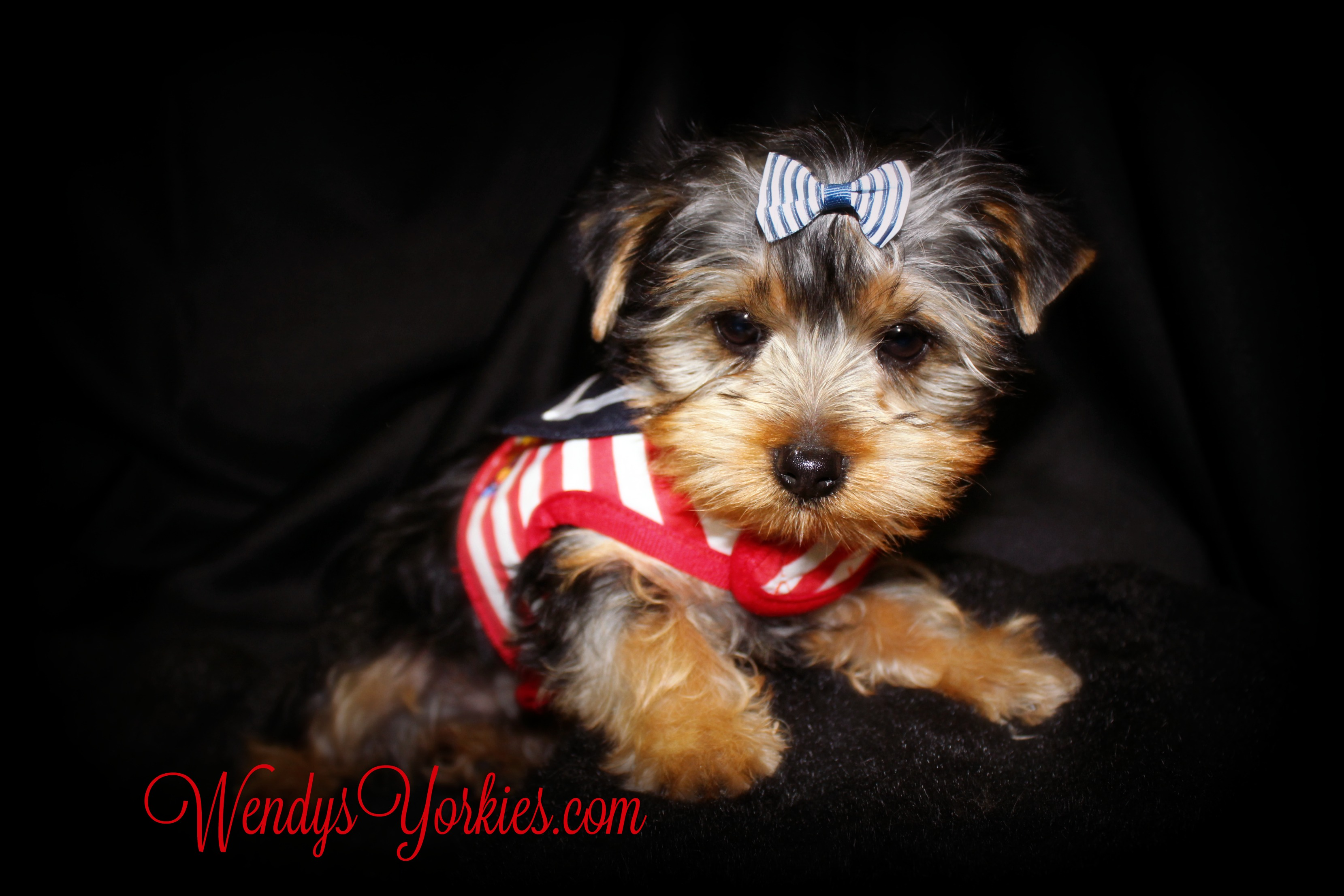 Yorkie puppies for sale, WendysYOrkies.com, Ladys Lacy Jax