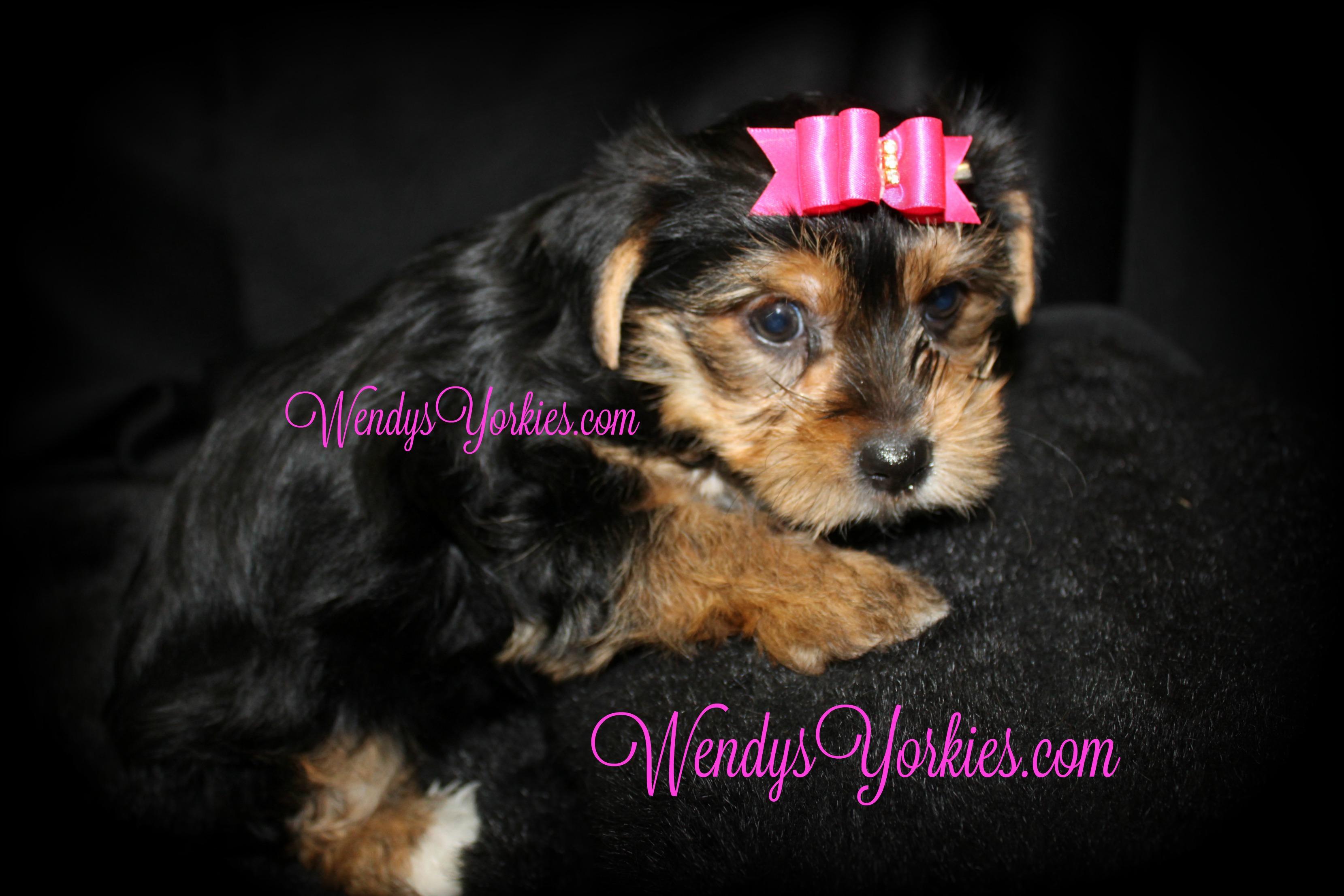 Yorkie puppies for sale, WendysYorkies, Penny
