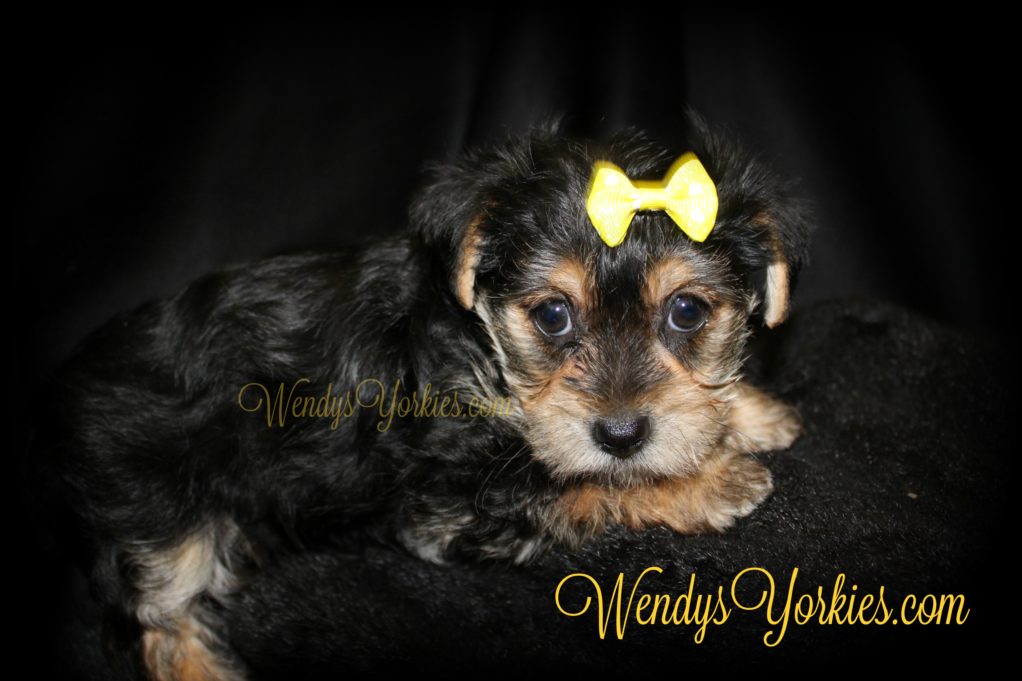 Yorkie puppy for sale, WendysYorkies.com, TH F2