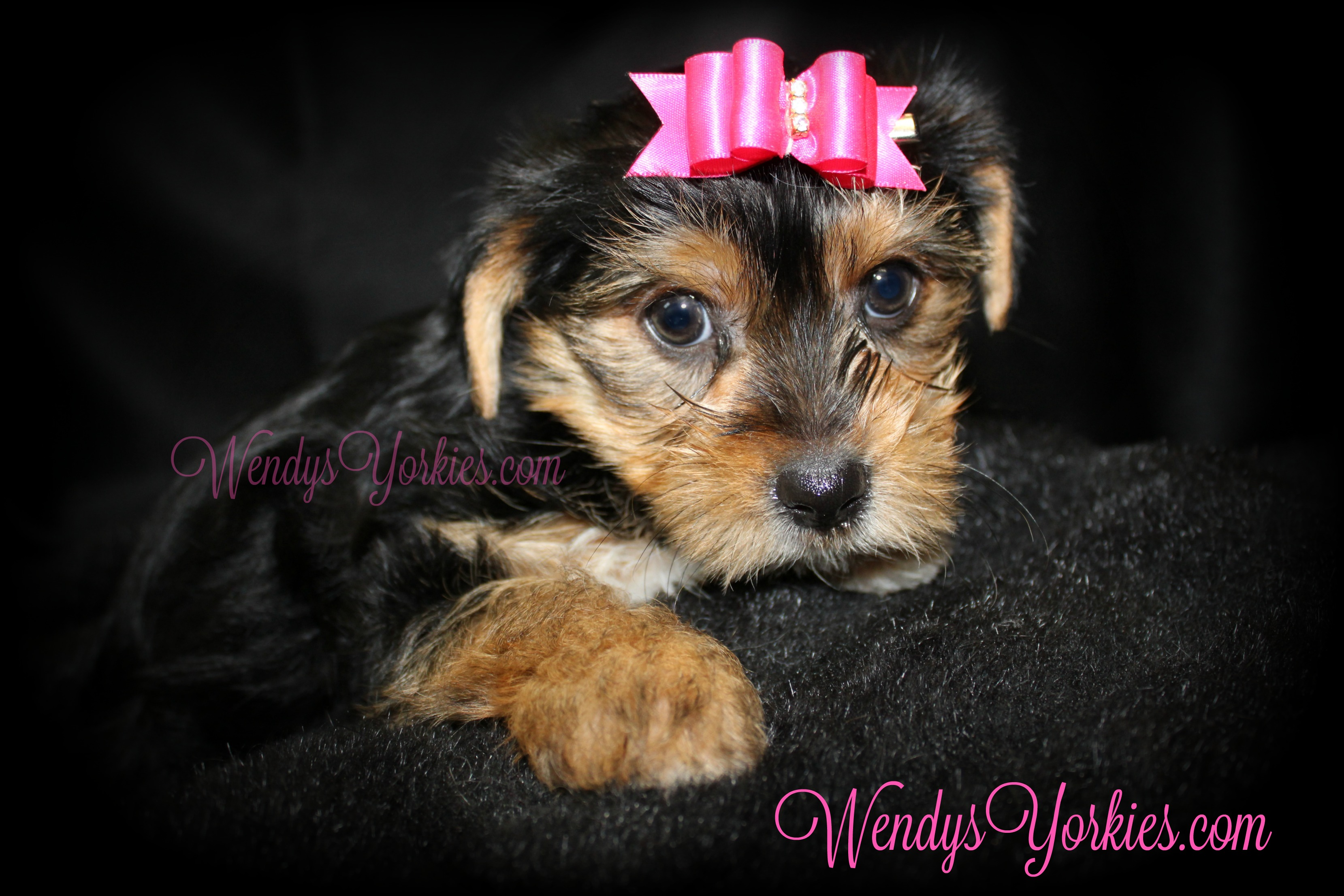 Yorkie puppy for sale, WendysYorkies.com, TH F3
