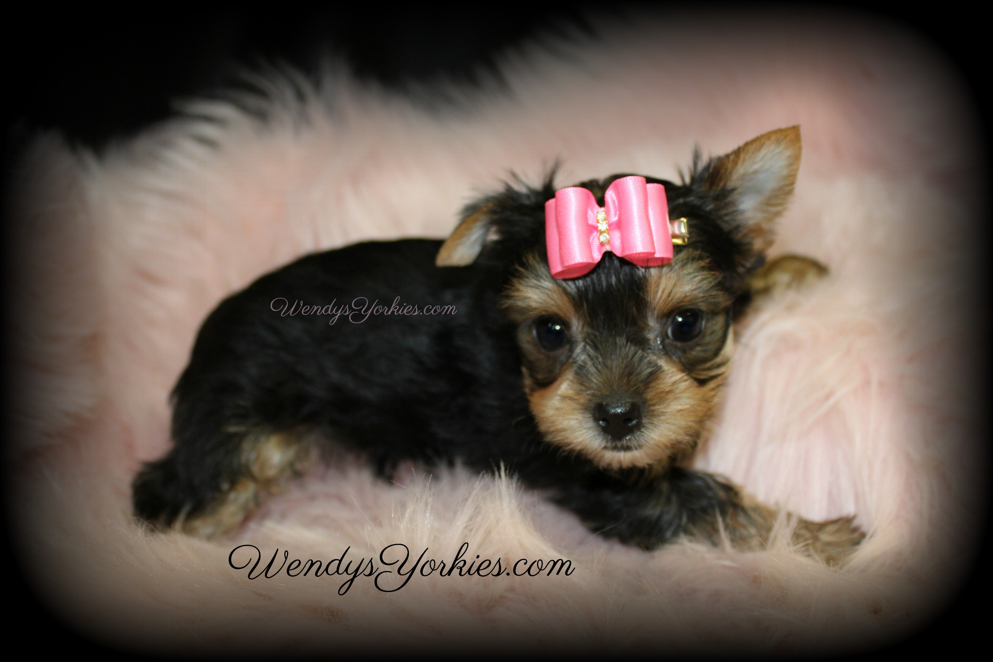 Cute Teacup Female Yorkie puppy for sale, WendysYorkies.com, Loulou f3