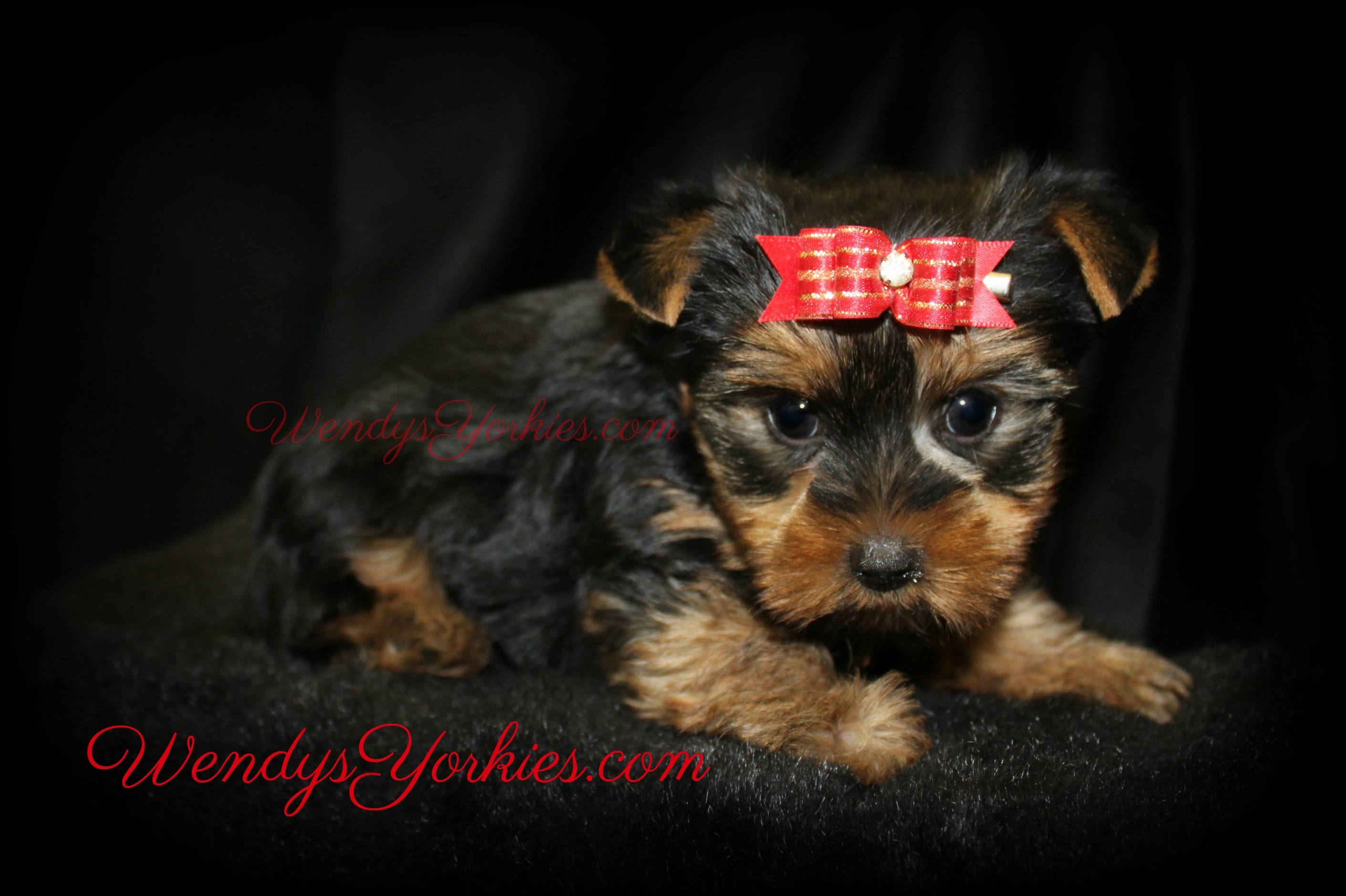 Cute Teacup Yorkie puppies for sale in Texas, WendysYorkies.com, Star m1
