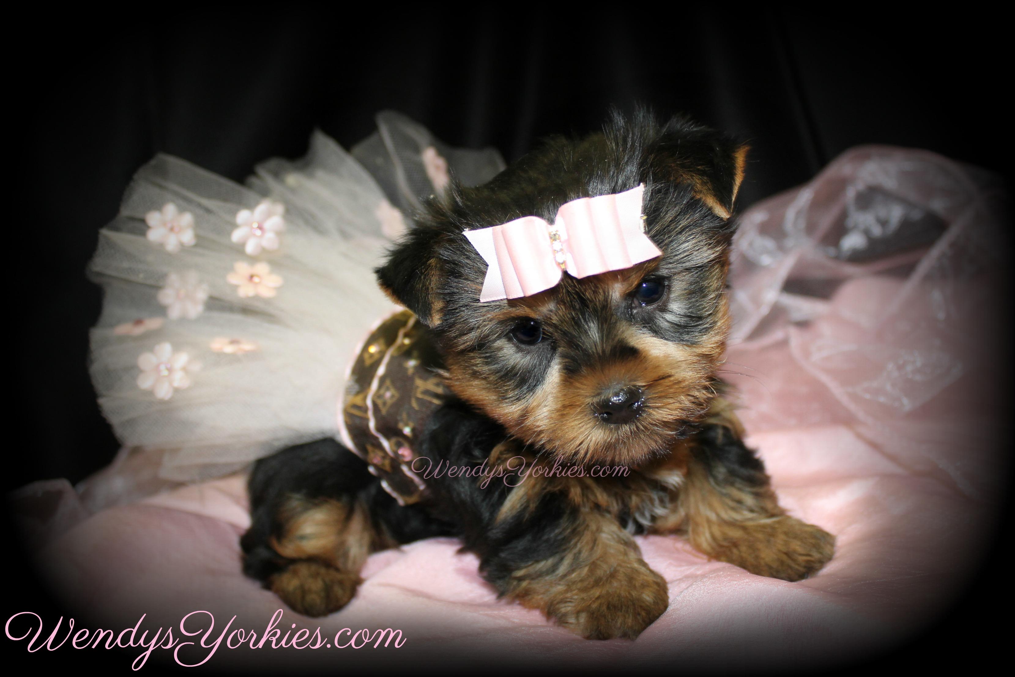 Cute Teacup Yorkie puppy for slae, WendysYorkies.com, Star f1