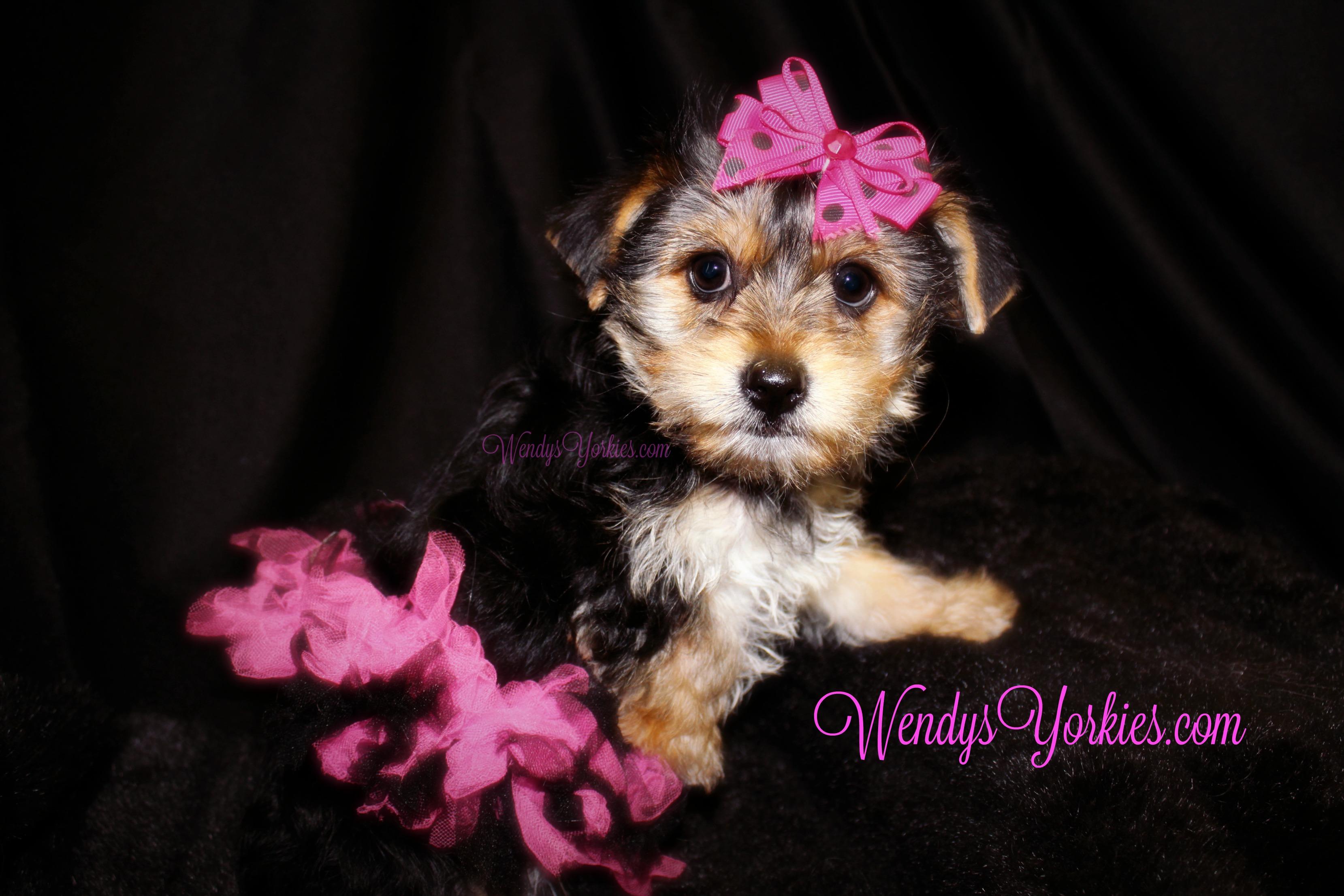 Cute YOrkie puppy for sale, WendysYorkies.com, TH f