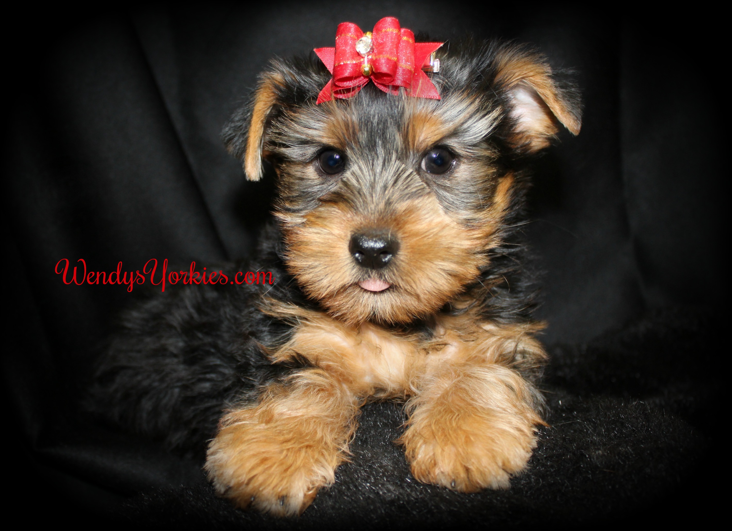 Cute Yorkie puppies for sale, WendysYorkies.com, Brittney m1
