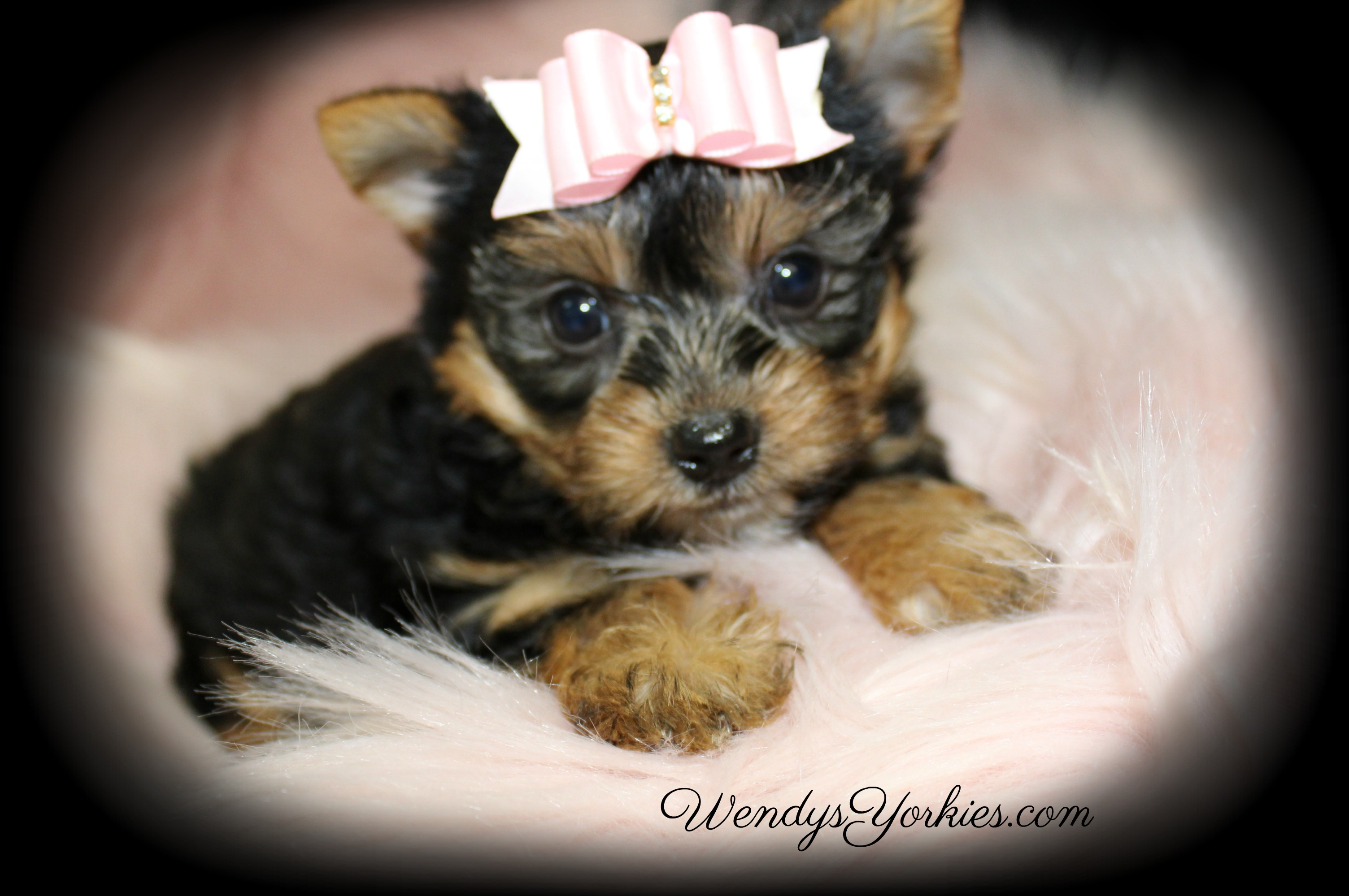 Cute Yorkie puppy for sale, WendysYorkies.com, Lexie f2