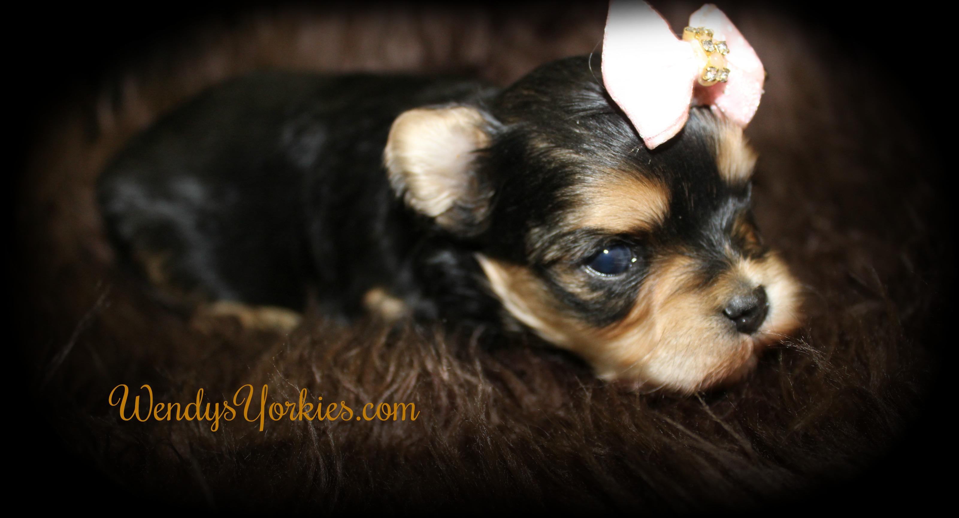 Female Morkie puppy for sale, WendysYorkies.com, Tri female Morkie