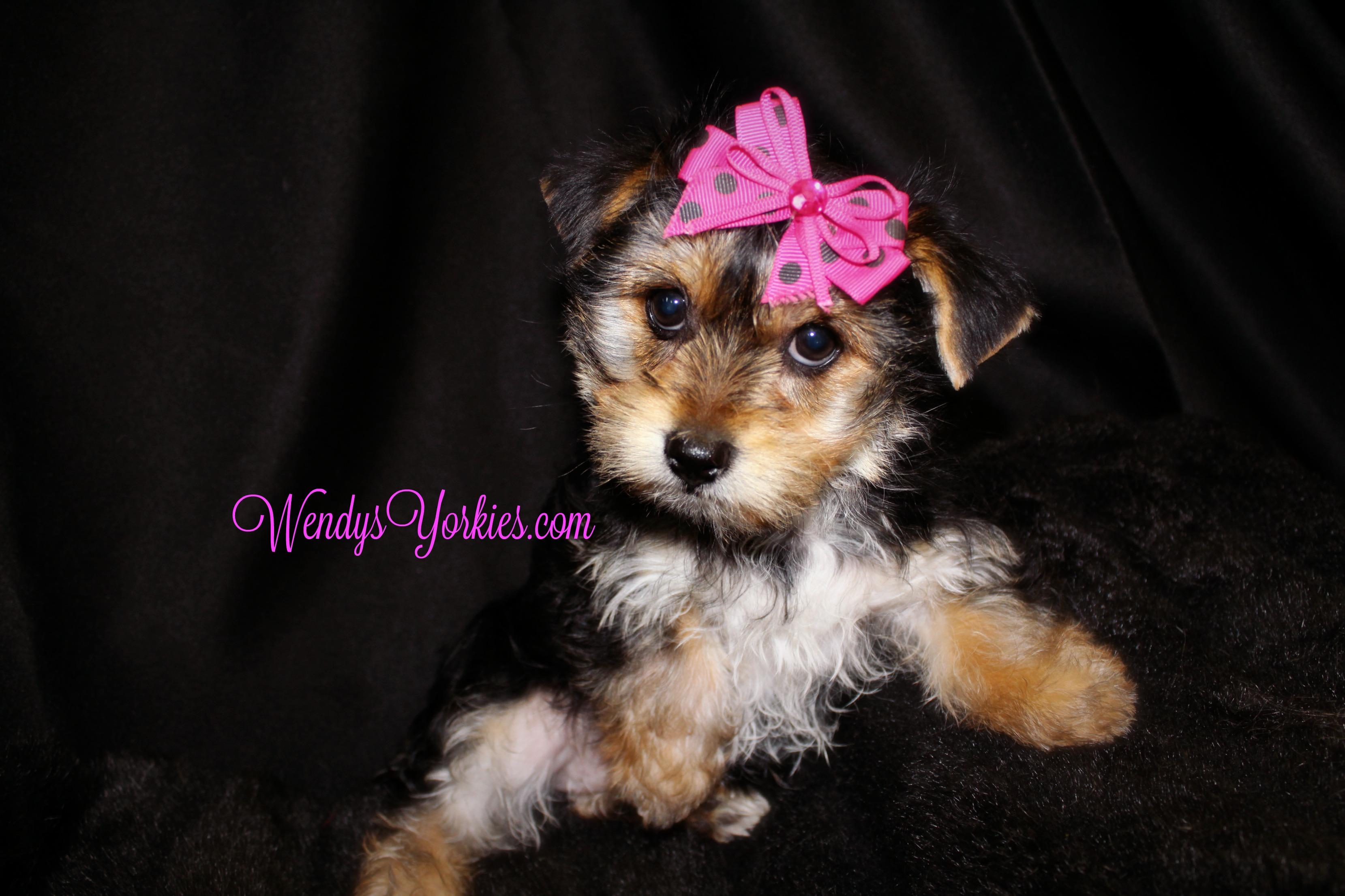 Female Yorkie puppy for sale, WendysYorkies.com, TH f