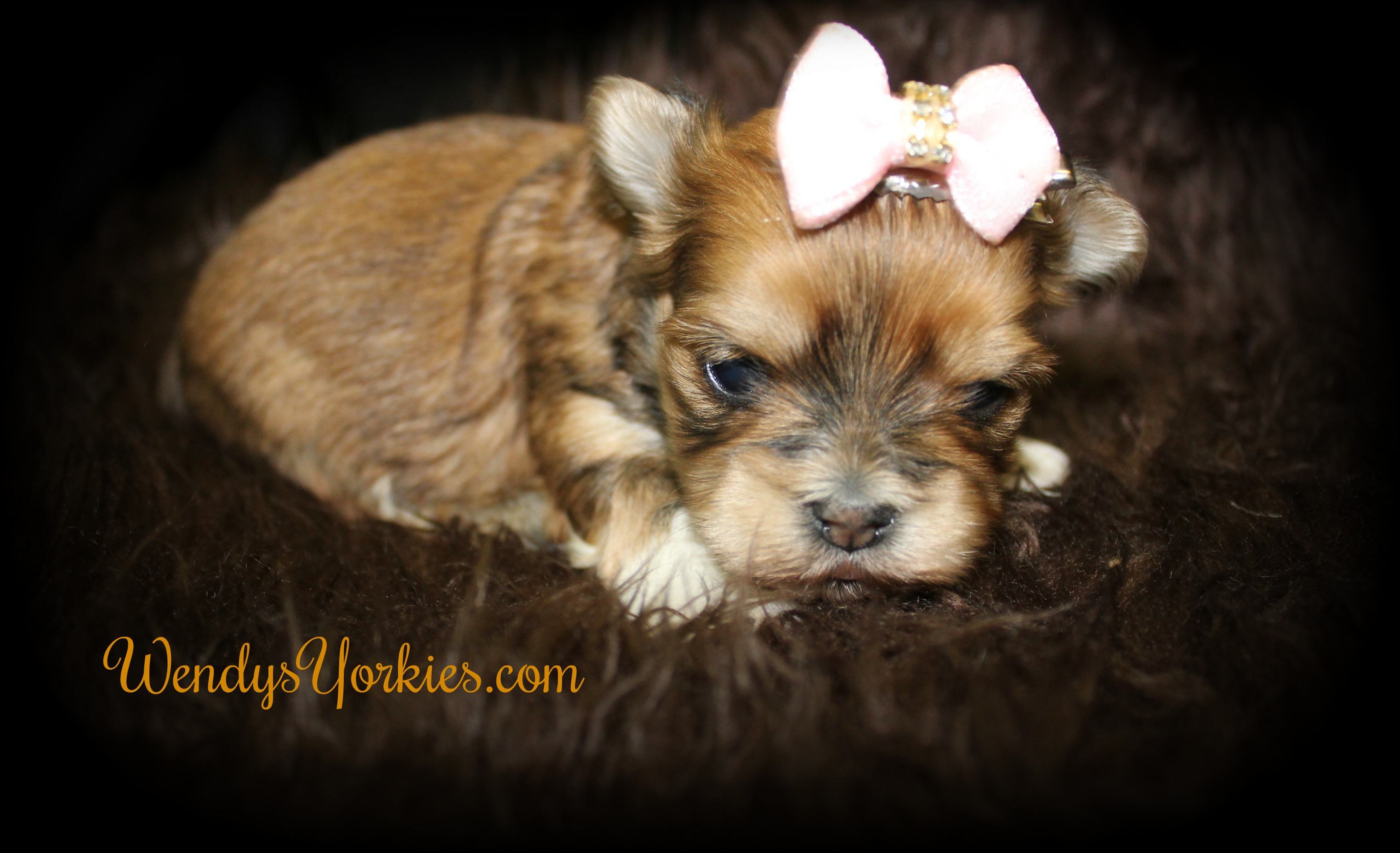 Morkie puppy for sale, WendysYorkies.com, Golden Female
