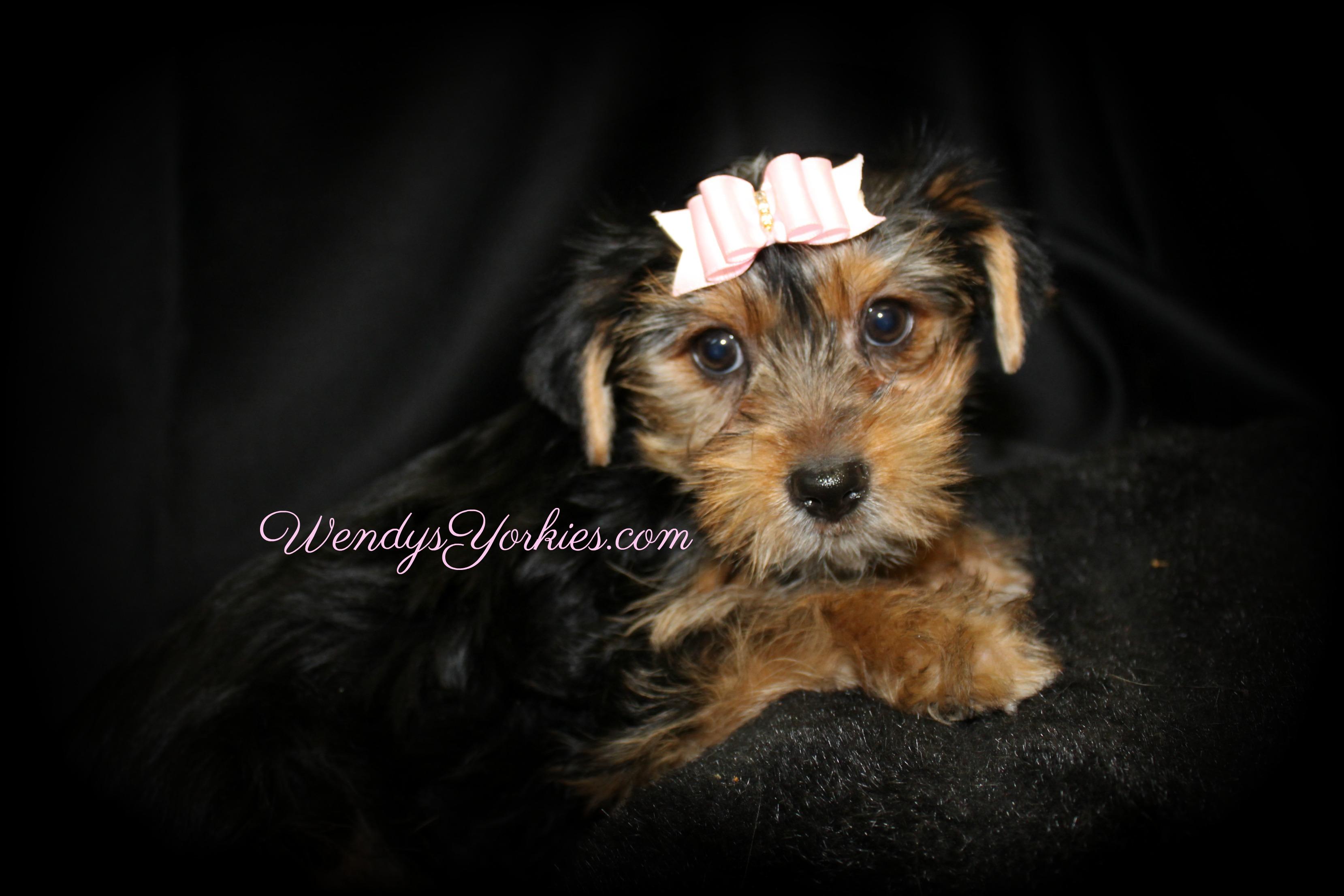 Standard Yorkie puppies for sale, WendysYorkies.com