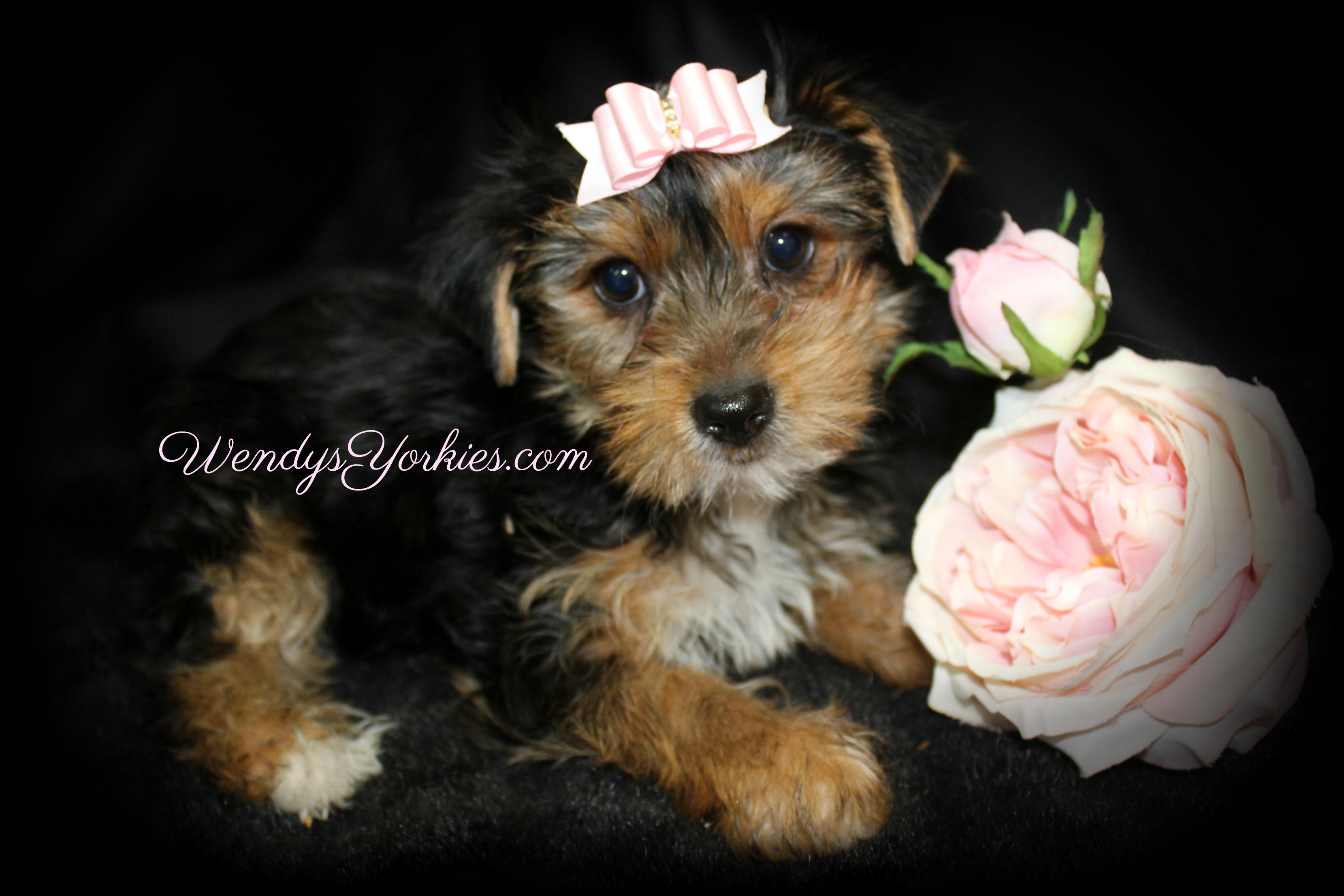Standard Yorkie puppy for sale, WendysYorkies.com, TH f1