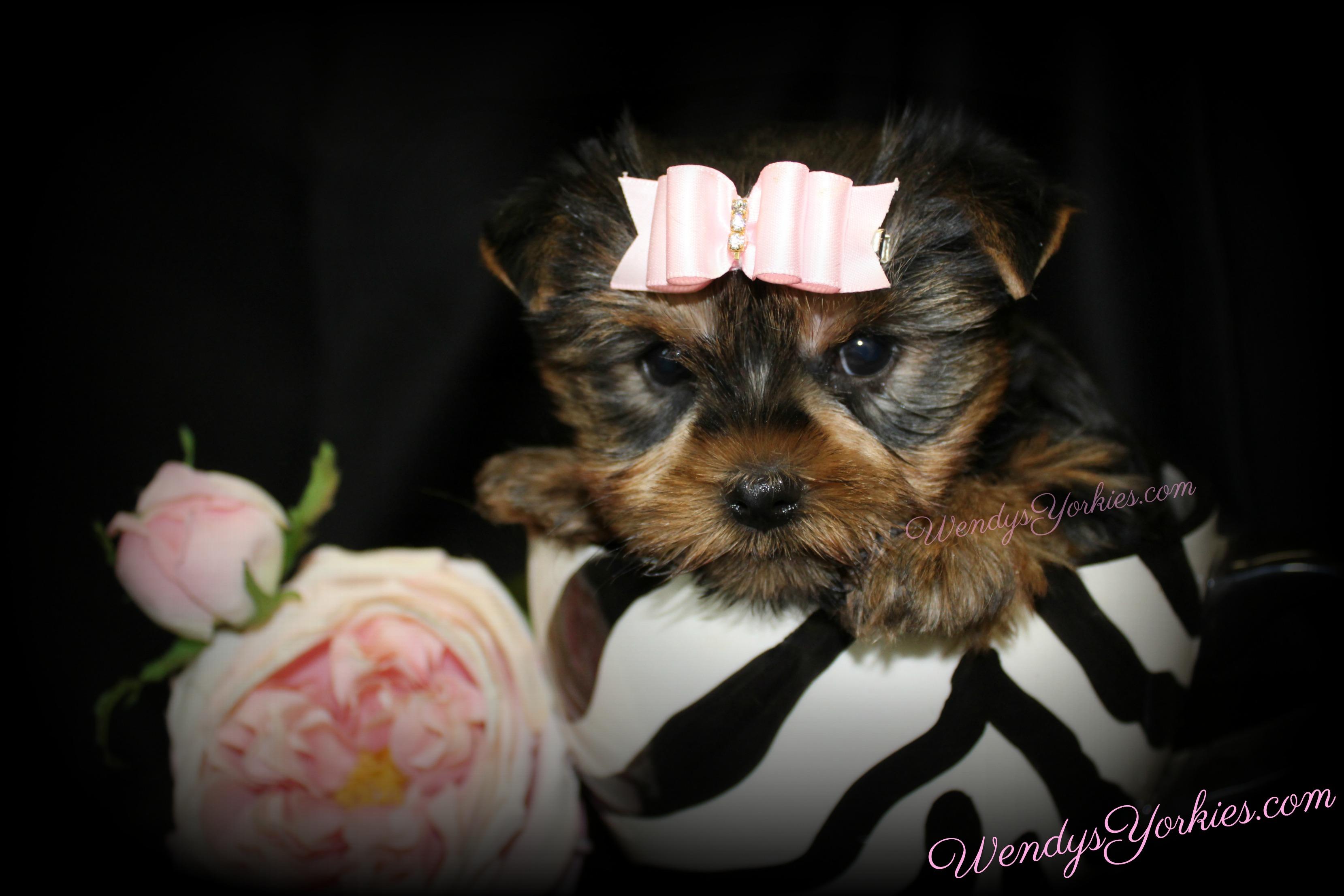Teacup Female Yorkie puppy for sale, Toy Yorkie, WendysYorkies.com, Star f1