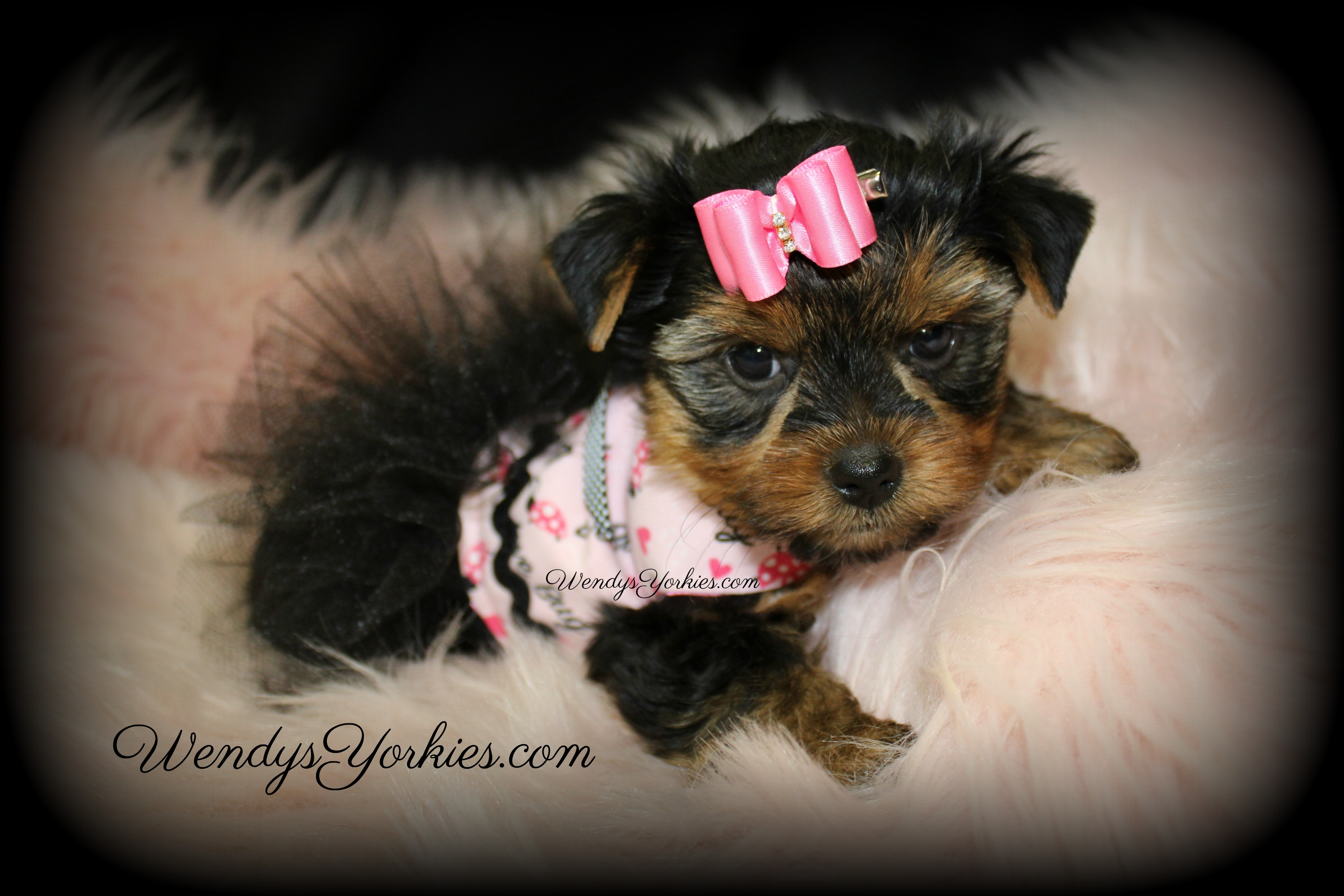 Teacup Female Yorkie puppy for sale, WendysYorkies.com, Loulou f2