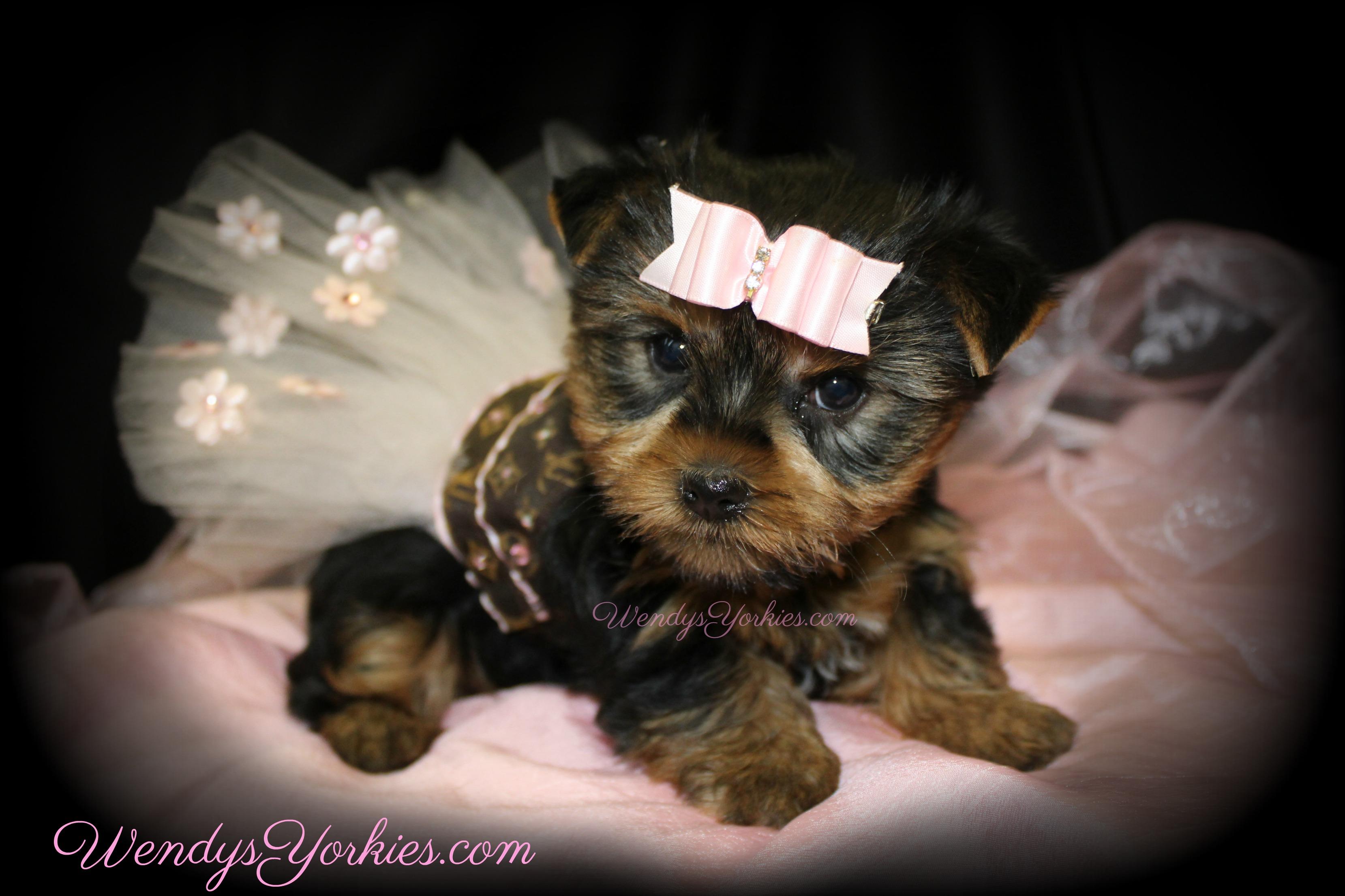 Teacup Female Yorkie puppy for sale, WendysYorkies.com, Star f1