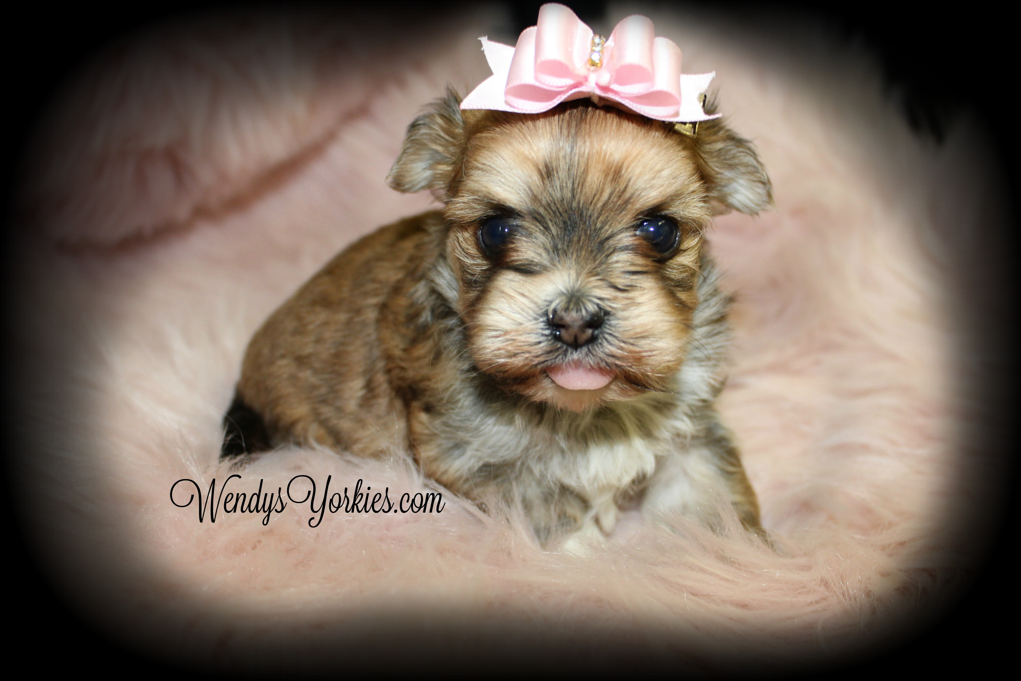 Teacup Morkie puppy for sale, WendysYorkies.com, Cloud f2 Golden