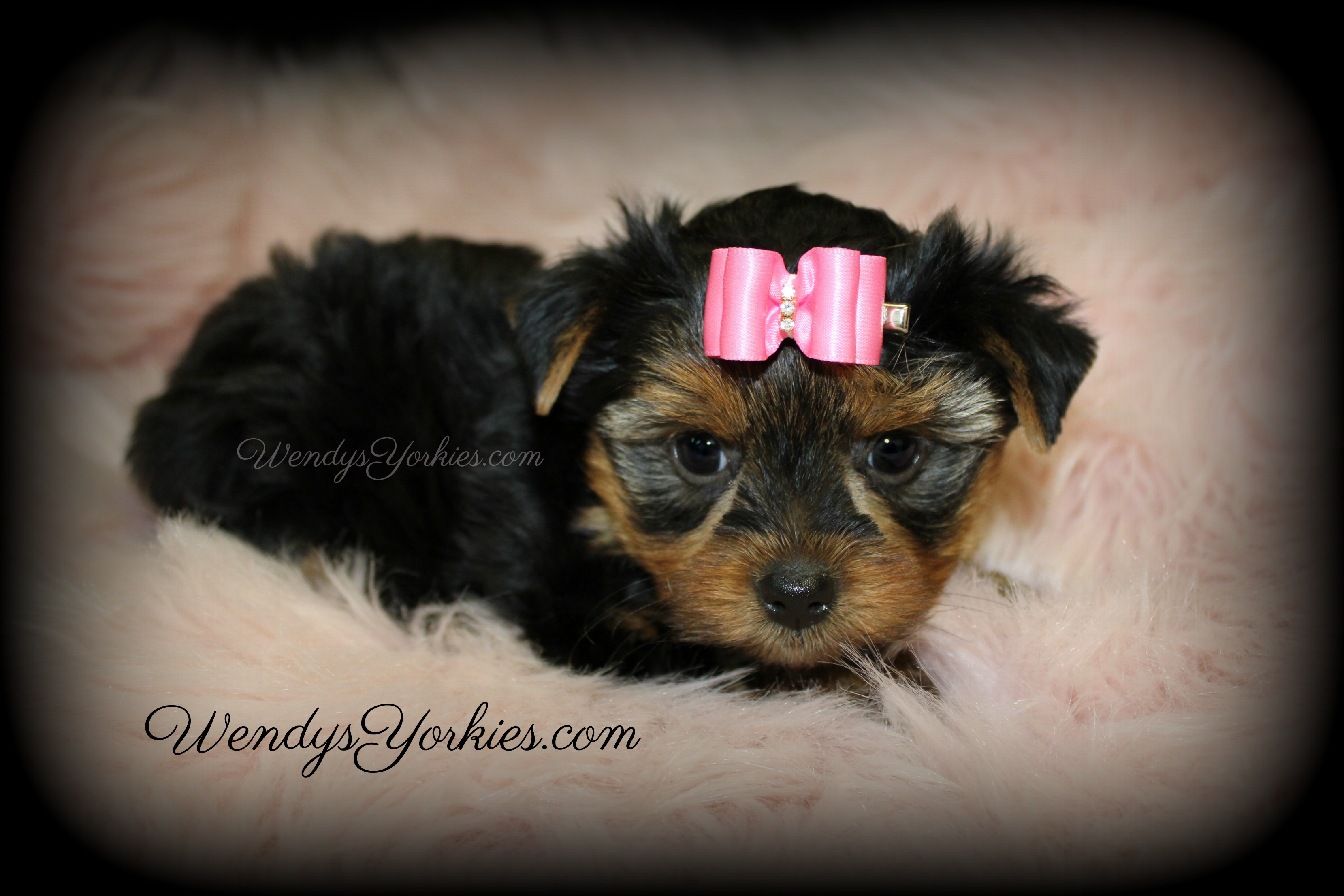 Teacup Toy size Yorkie puppies for sale, WendysYorkies.com, Loulou f2