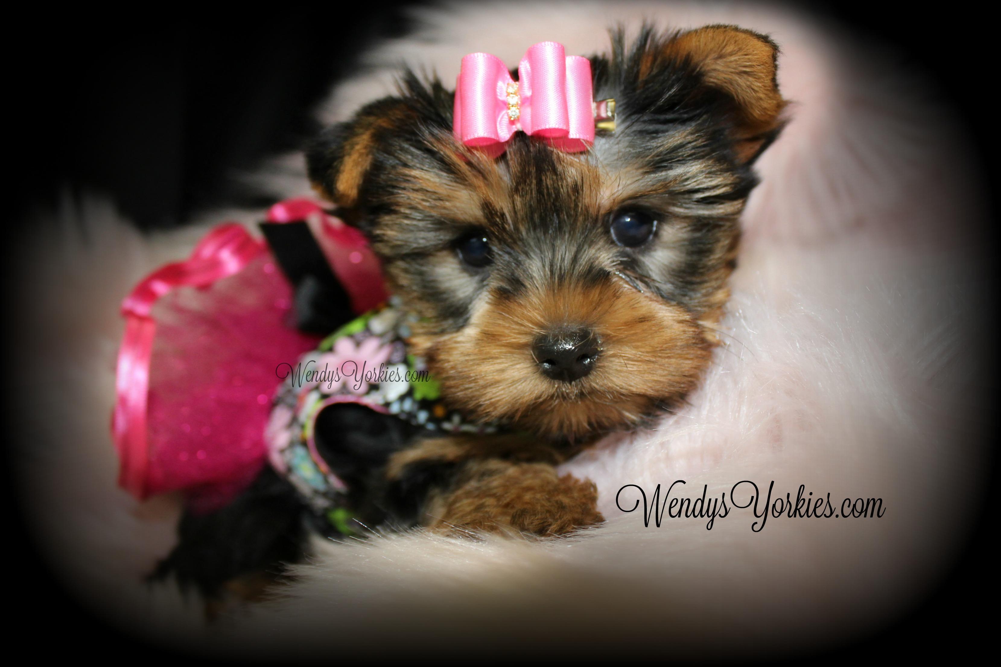 Teacup Yorkie puppies for sale, WendysYorkies.com, Star f1