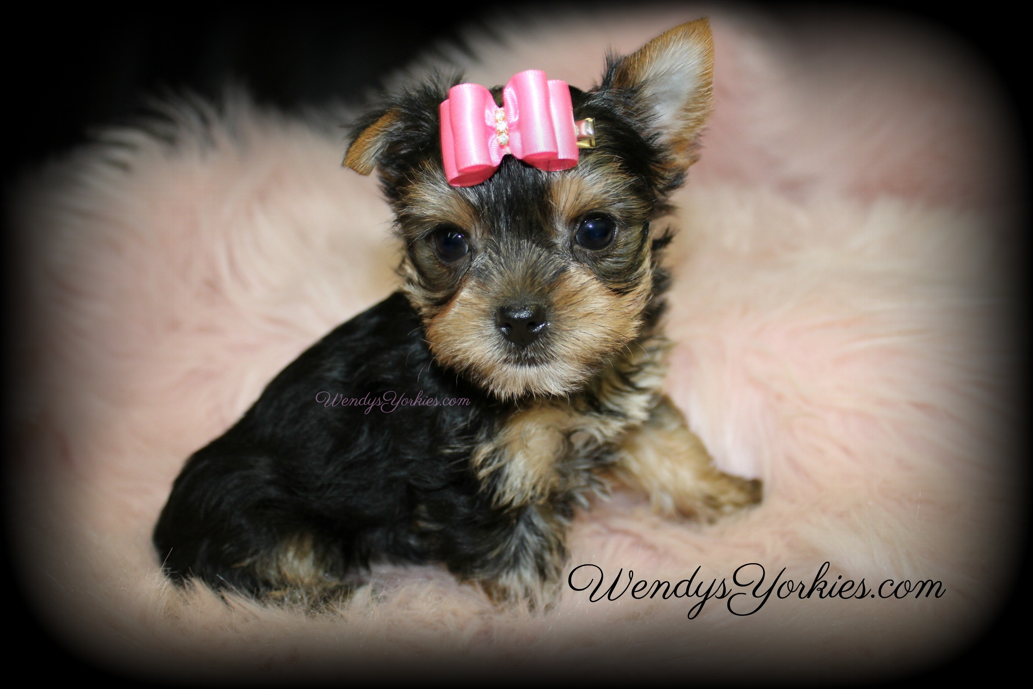 Teacup Yorkie puppy for sale, WendysYorkies.com, Loulou f3