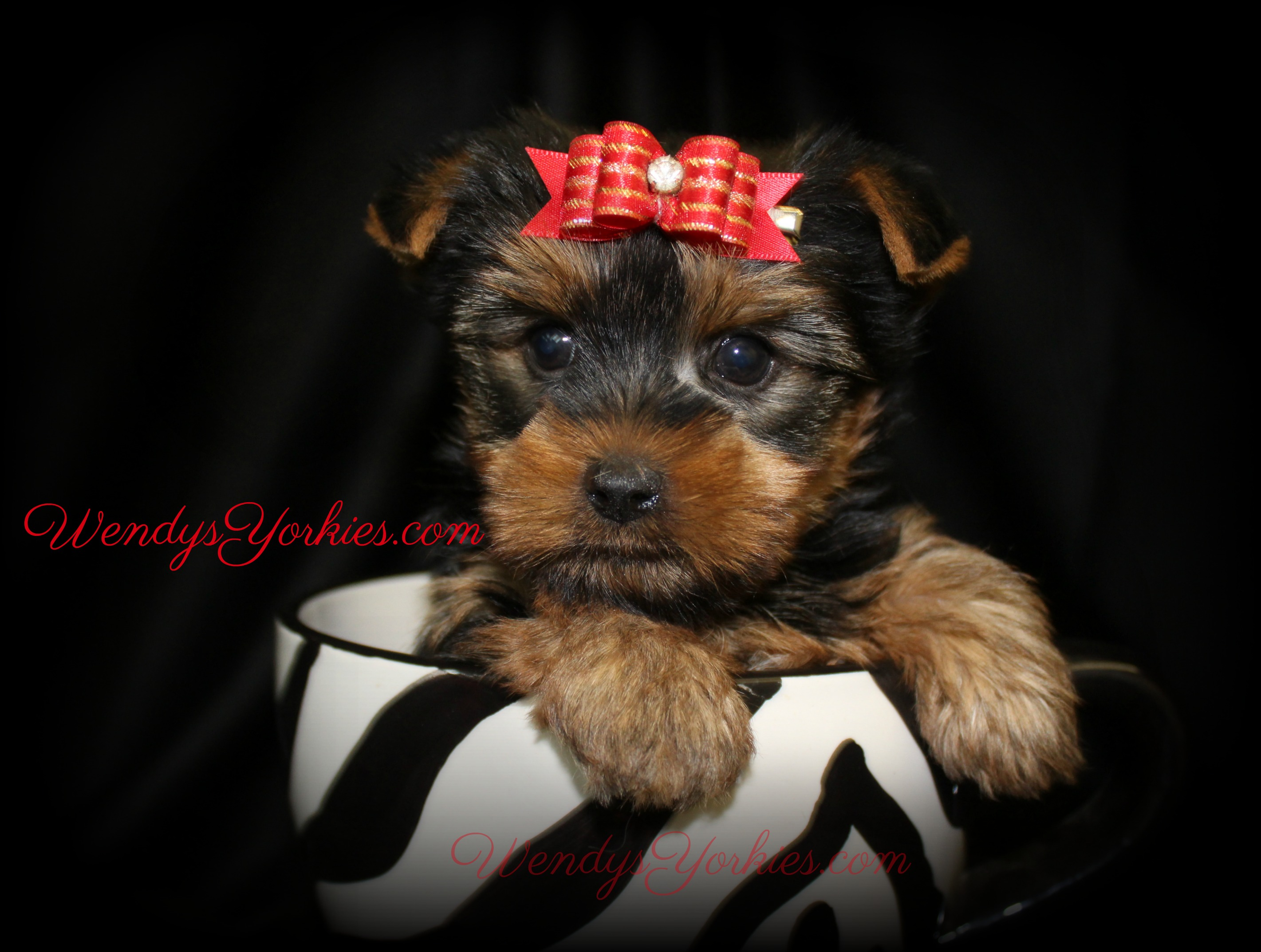 Teacup Yorkie puppy for sale, WendysYorkies.com, Star m1