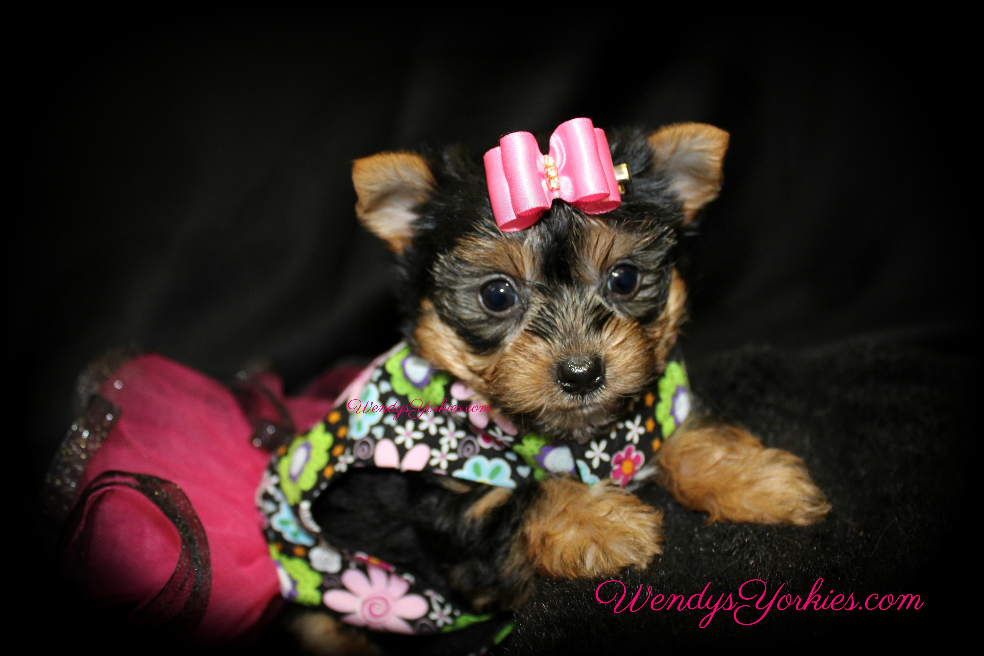 Teacup female Yorkie puppy for sale, WendysYorkies.com, Lexie f2