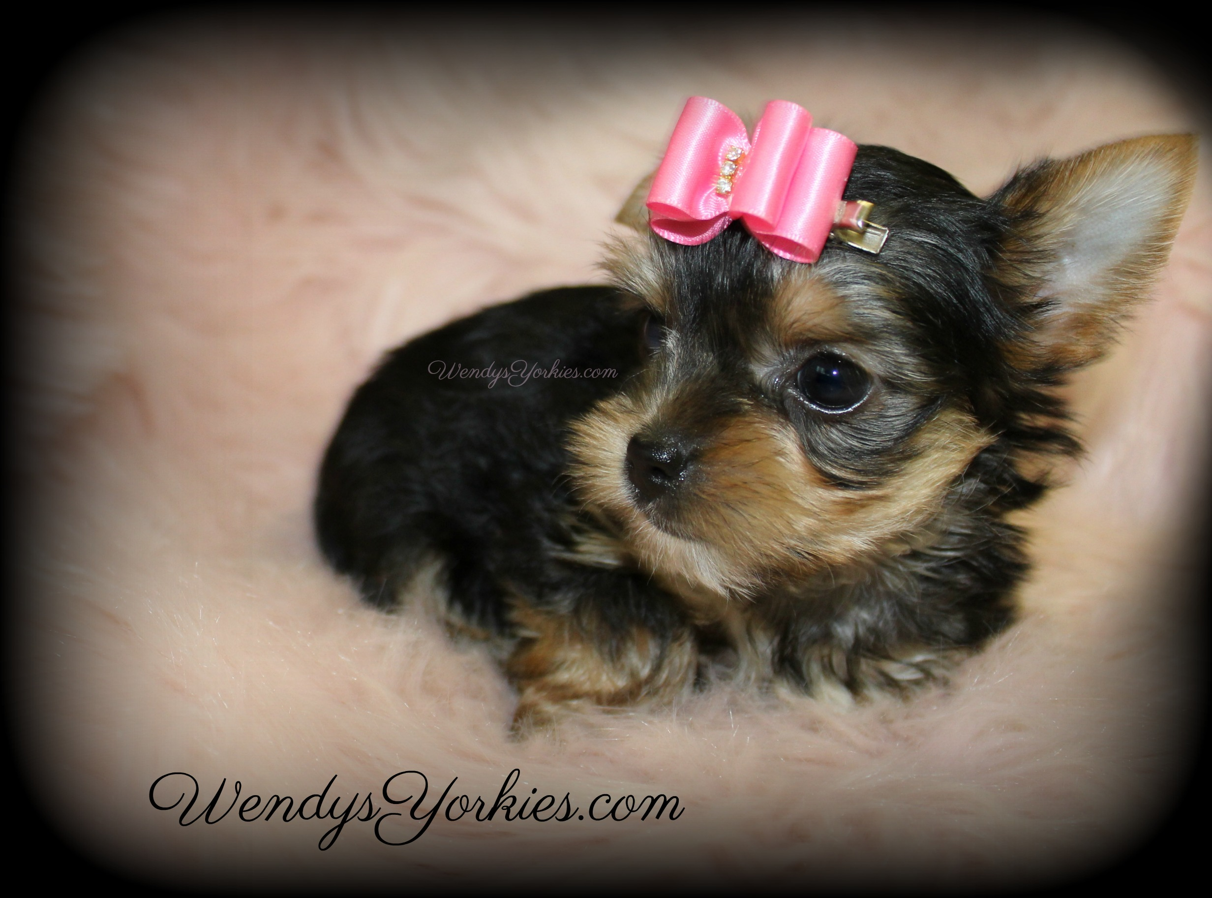 Tiny Teacup Female Yorkie puppies for sale, WendysYorkies.com, Loulou f3
