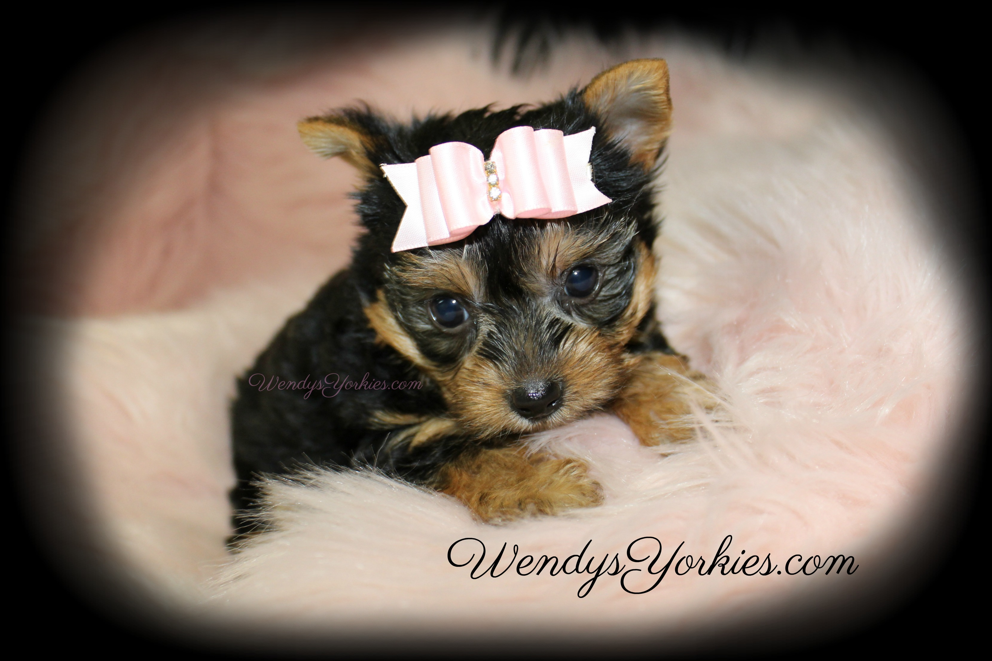 Tiny Teacup Female Yorkie puppy for sale, WendysYorkies.com, Lexie f2