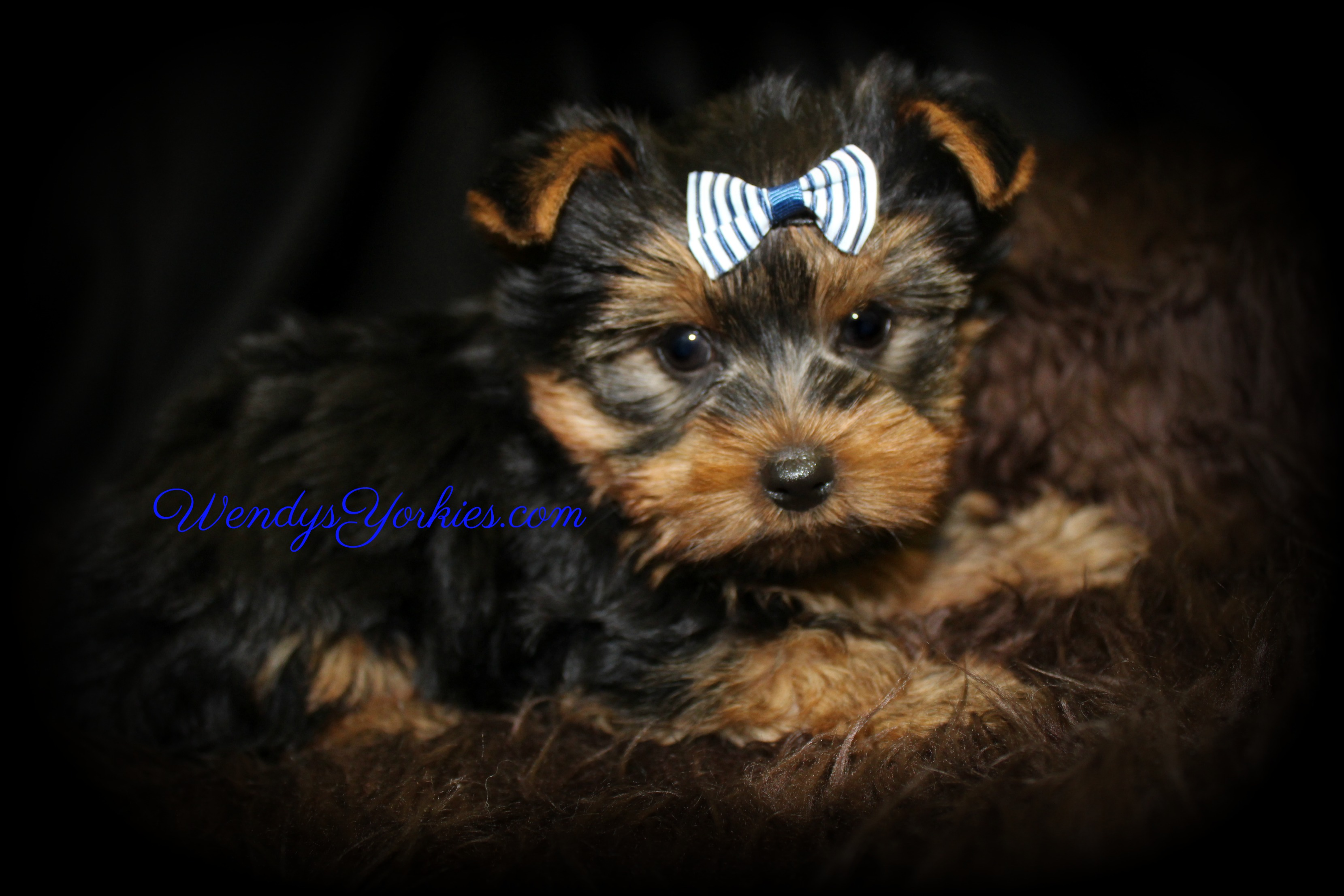 Toy Yorkie puppies for sale, WendysYorkies.com, Star m1