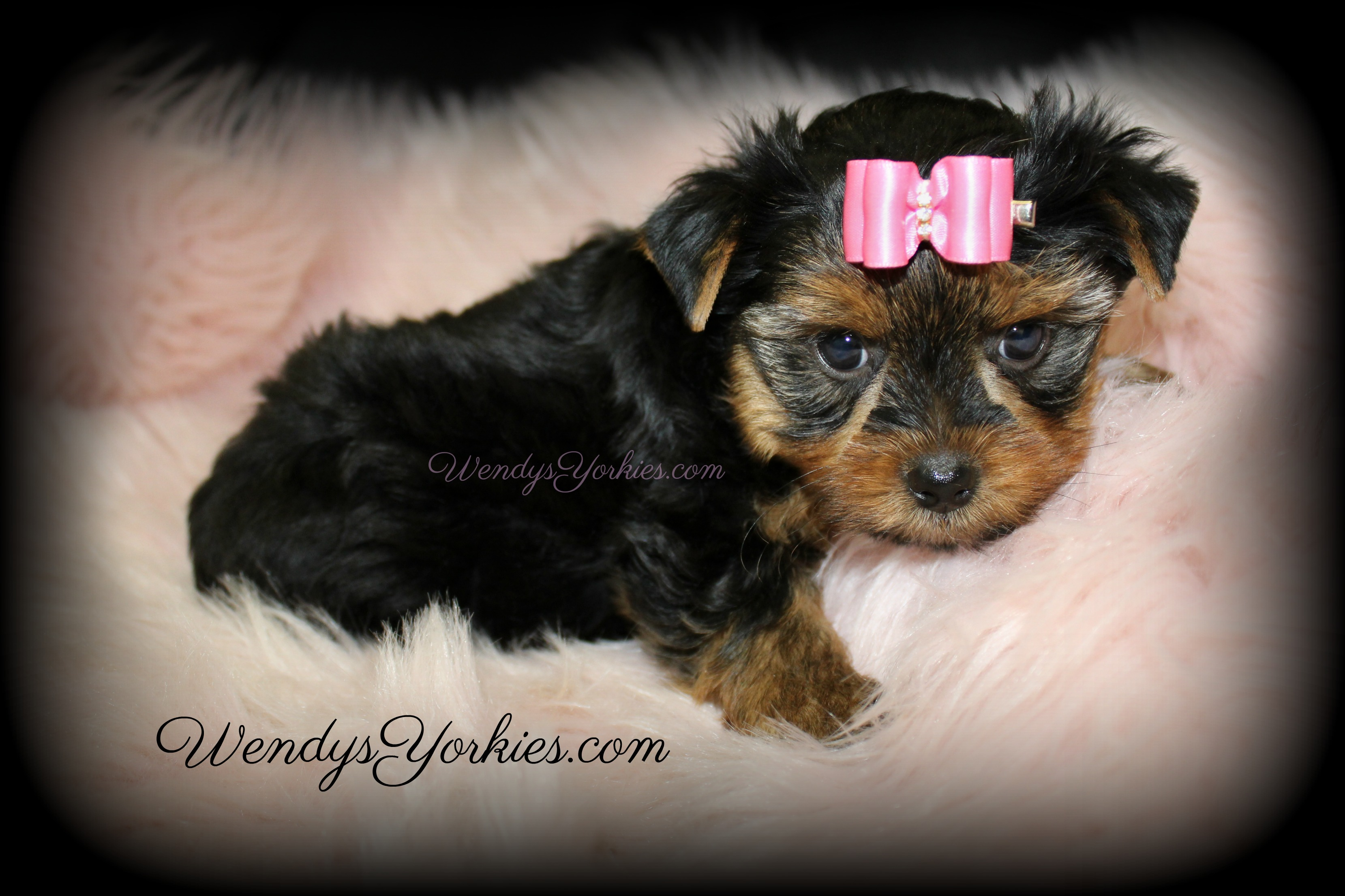 Toy Yorkie puppies for sale in Texas, WendysYorkies.com, Loulou f2