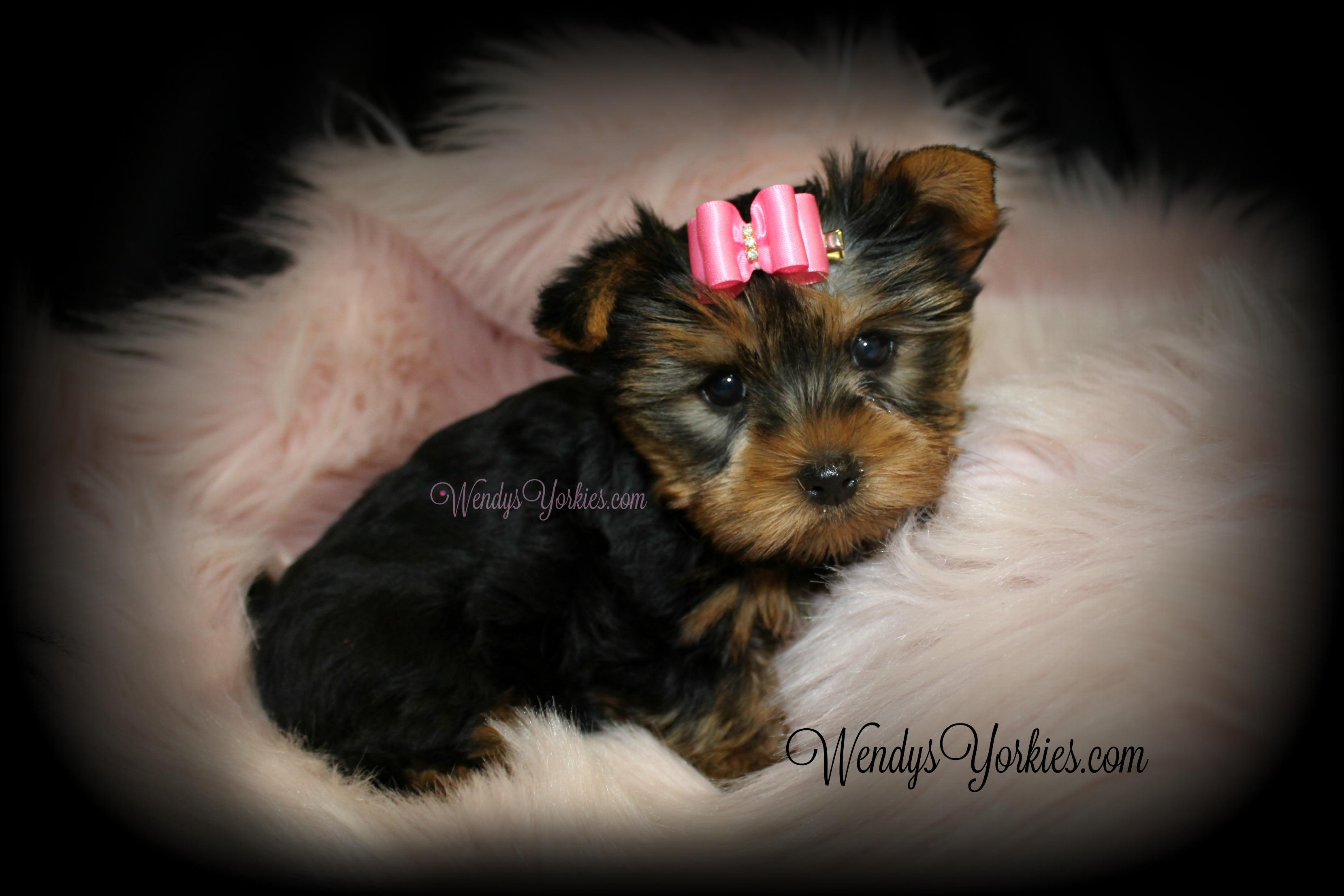 Toy Yorkie puppy for sale, WendysYorkies.com, Star f1