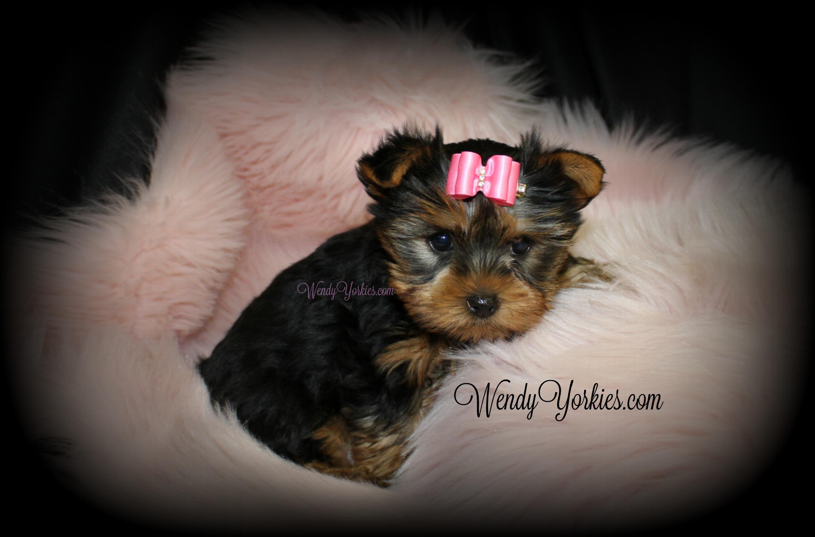 WendysYorkies.com, Female Teacup Yorkie puppy for sale, Star f1