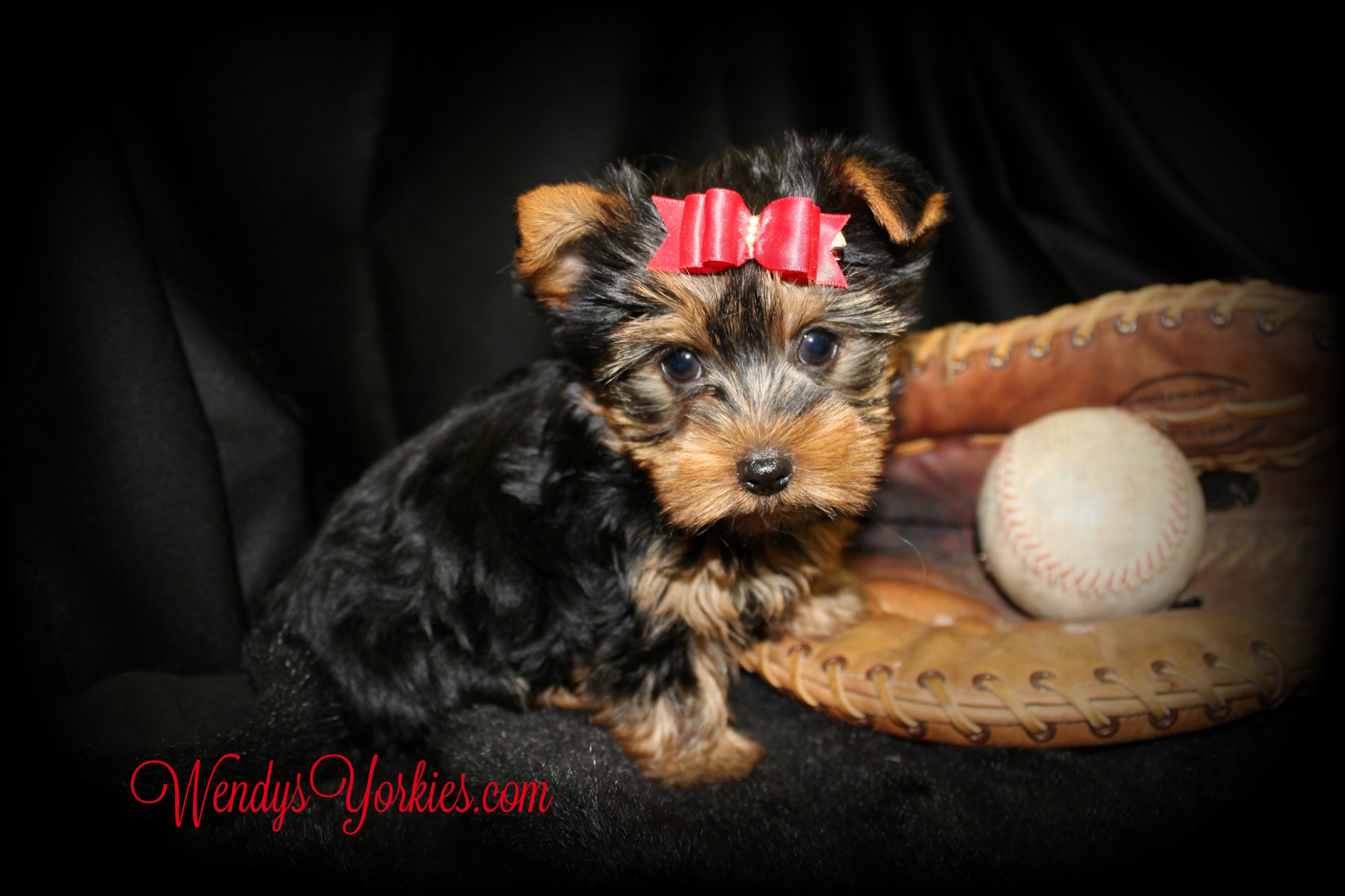 WendysYorkies.com, Star m1, Cute male yorkie puppy