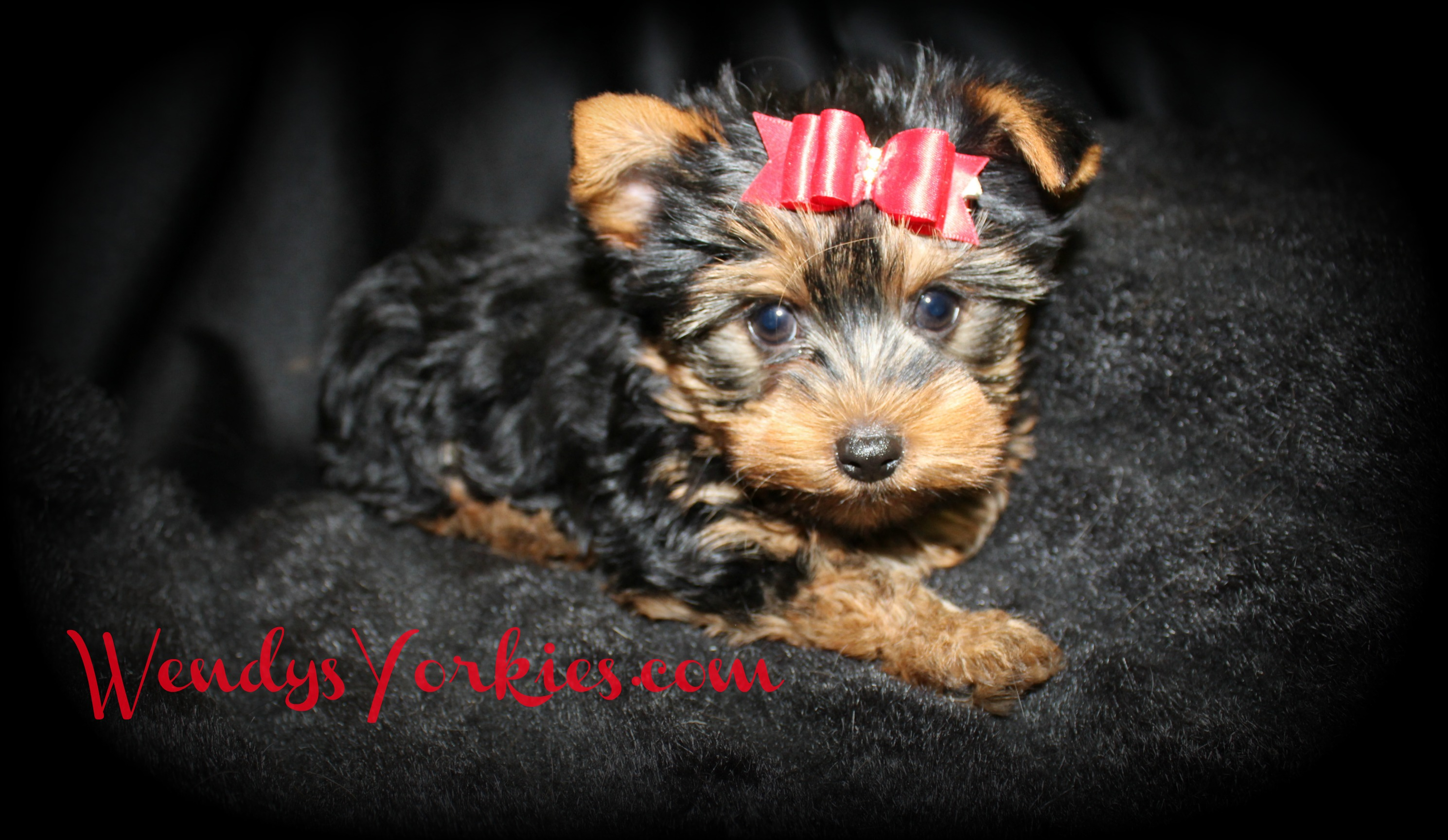 WendysYorkies.com, Star m1 Yorkie puppy breeder
