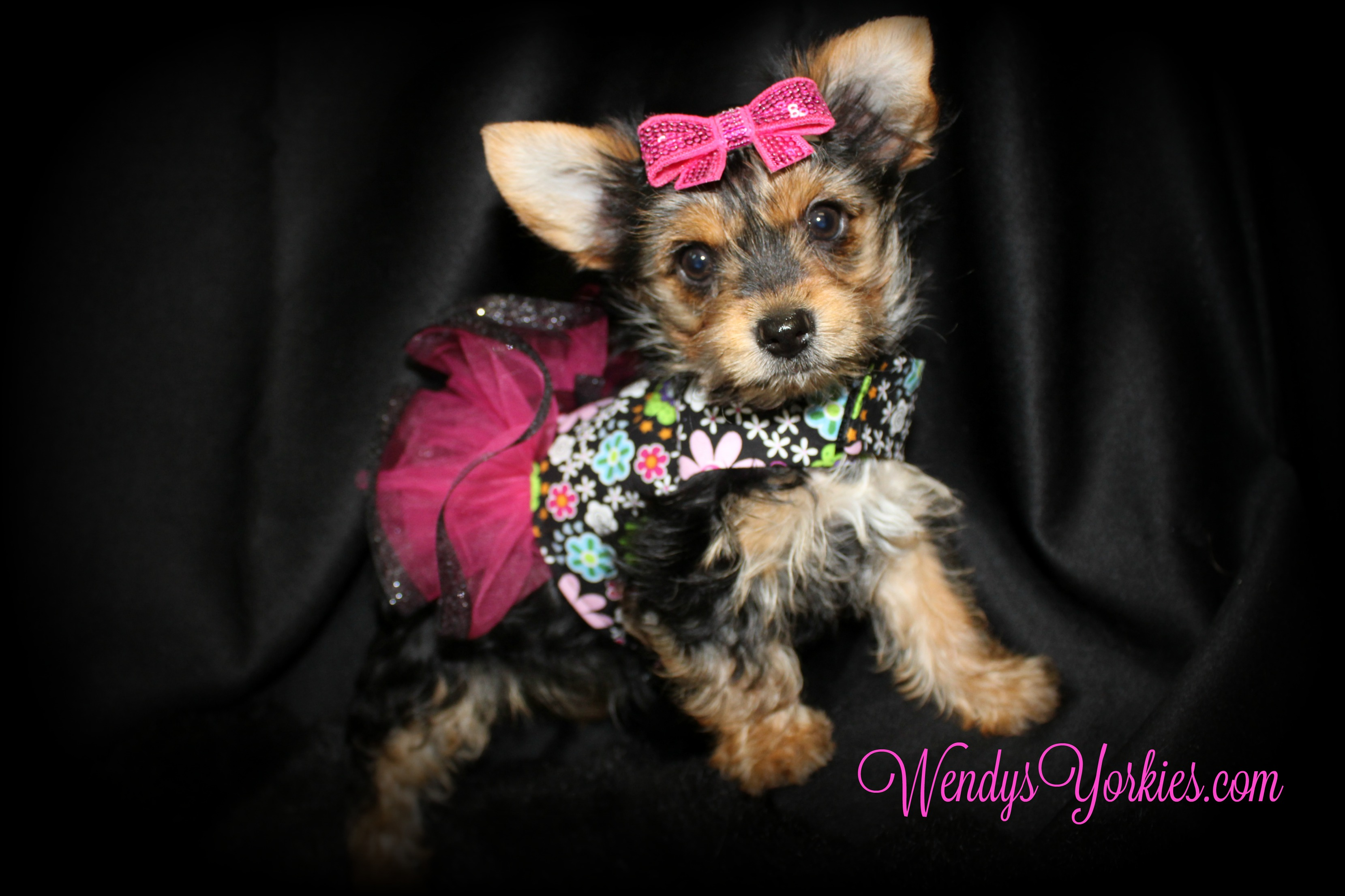 WendysYorkies.com, Teacup Yorkie puppy for sale, TH f1
