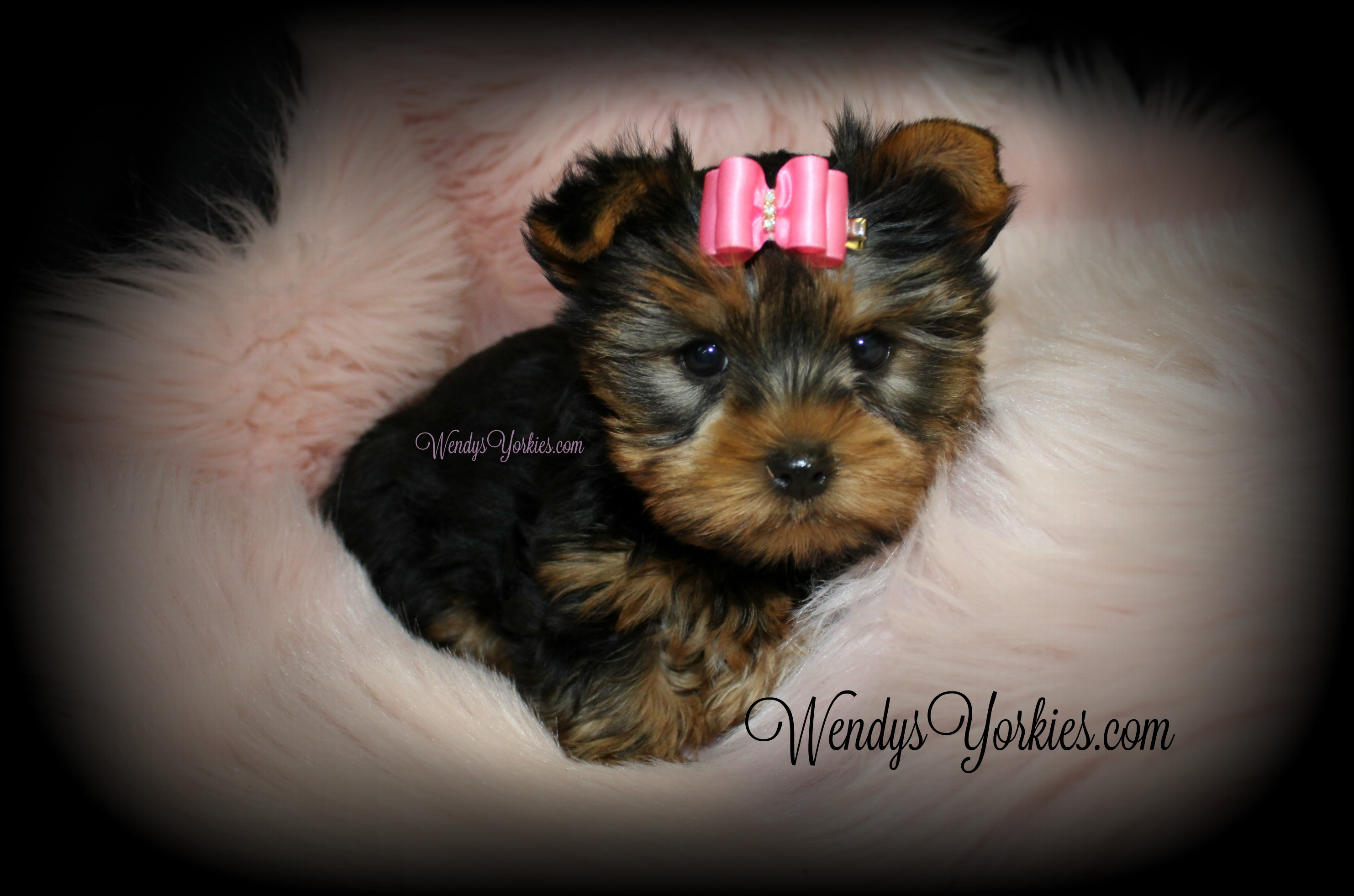 Yorkie puppies for sale, Star f1