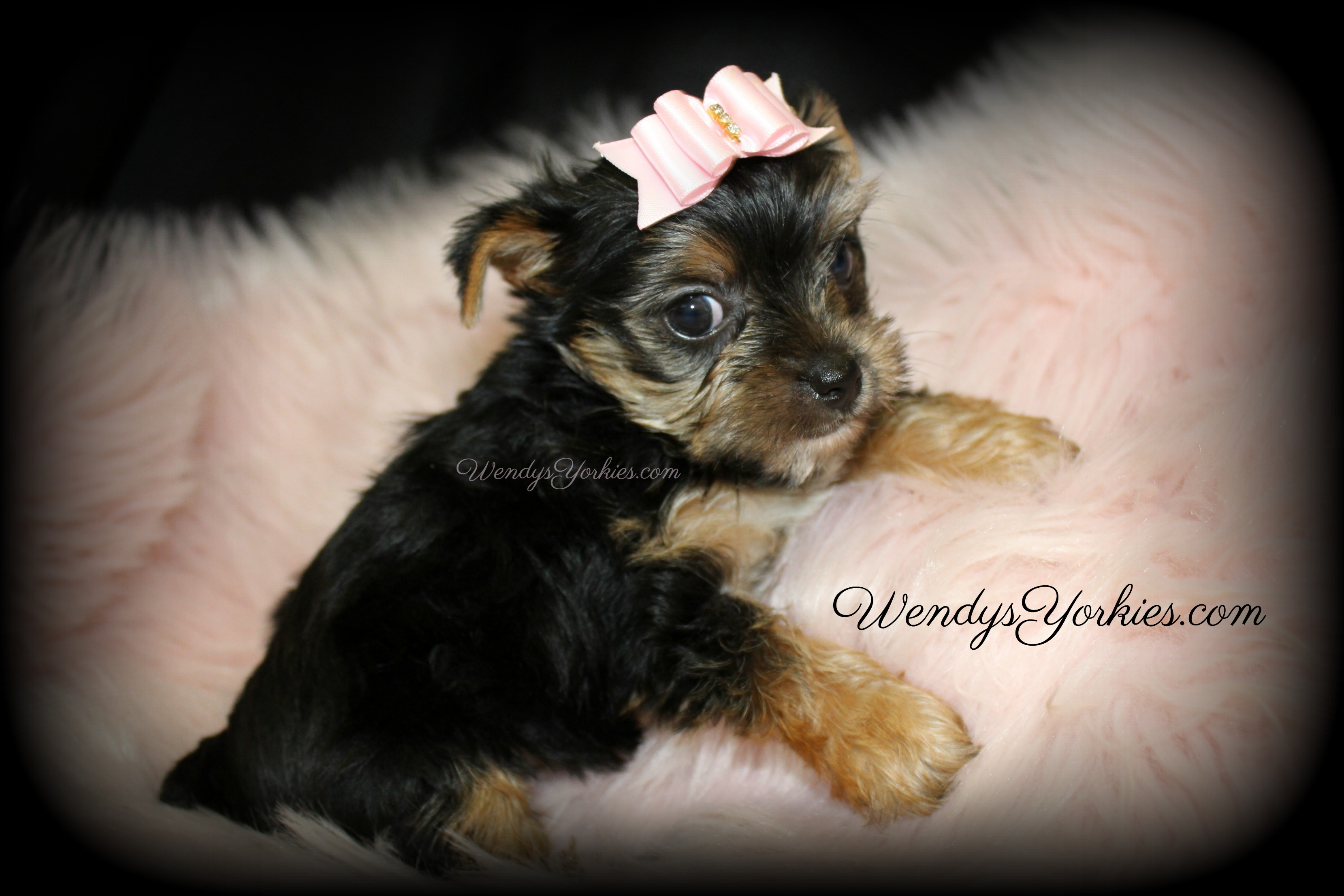 Yorkie puppies for sale in Texas, WendysYOrkies.com, Loulou f1