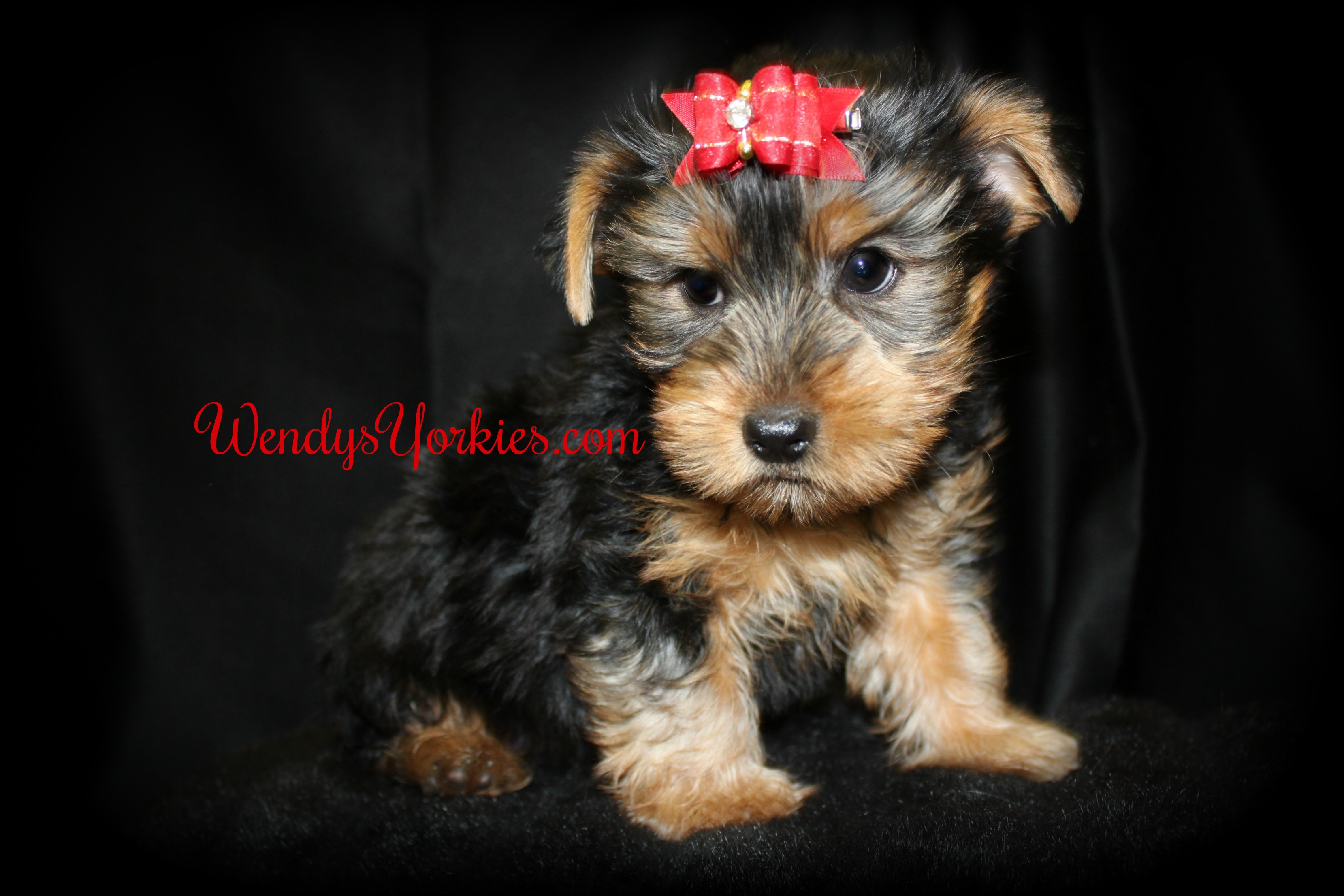 Yorkie puppy for sale in Texas, WendysYorkies.com, Brittney m1