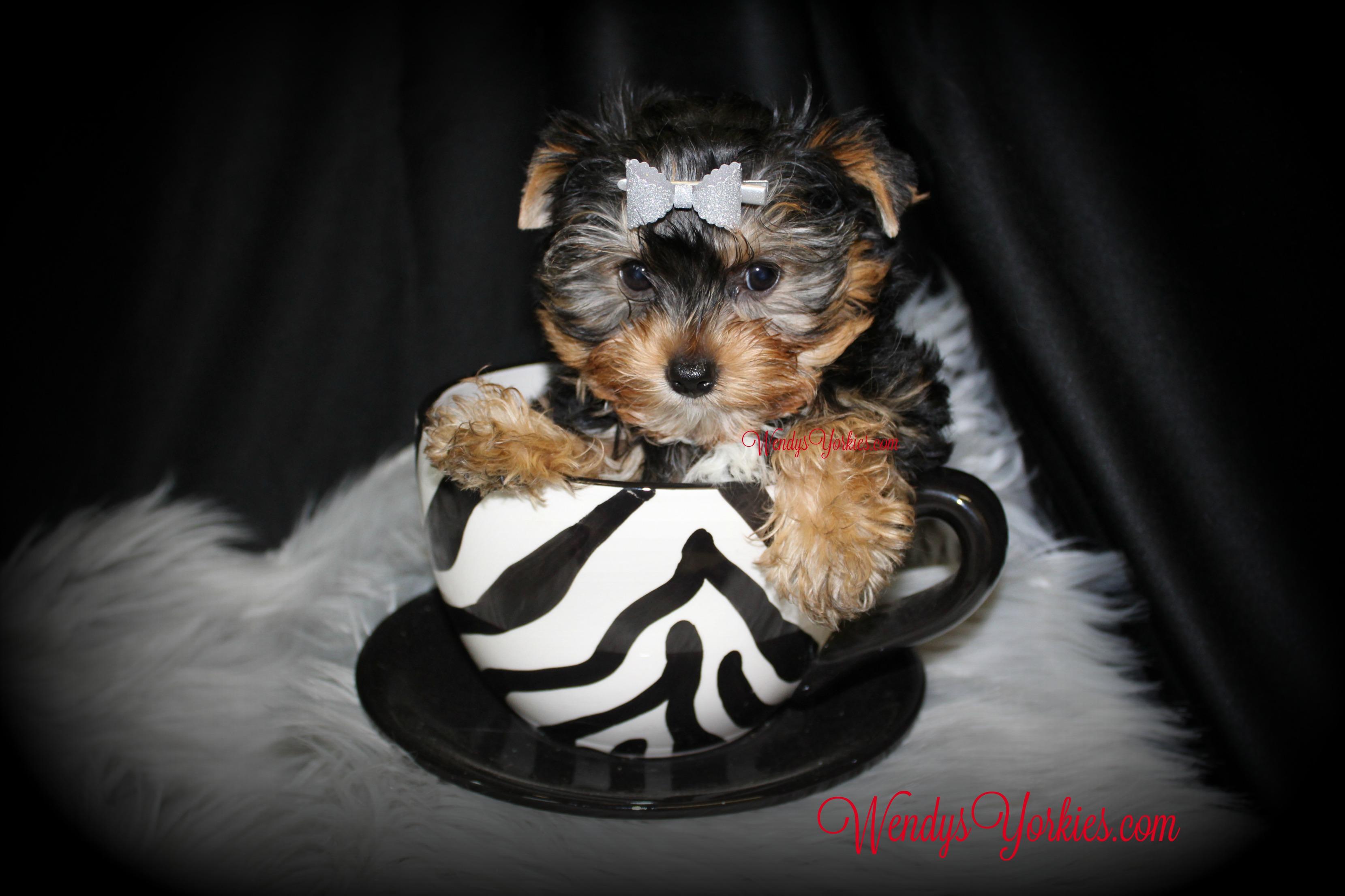 Cute Yorkie puppy for sale, WendysYorkies.com, Lexie Tm1